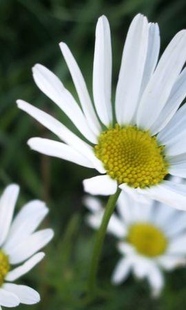 9987 скачать обои Растения, Цветы, Ромашки - заставки и картинки бесплатно