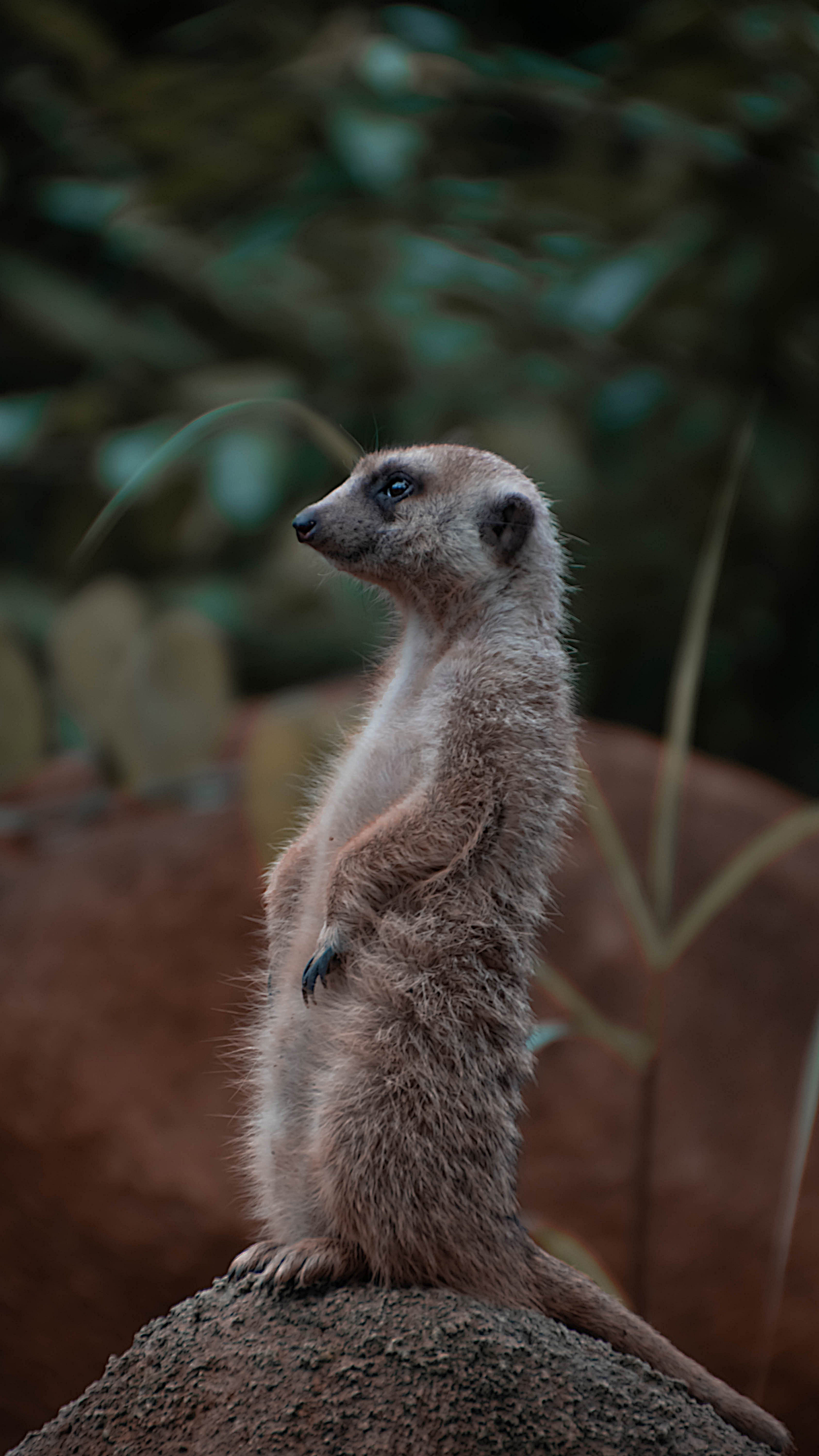 121844 download wallpaper Animals, Meerkat, Surikat, Rodent, Animal, Profile, Rock, Stone screensavers and pictures for free