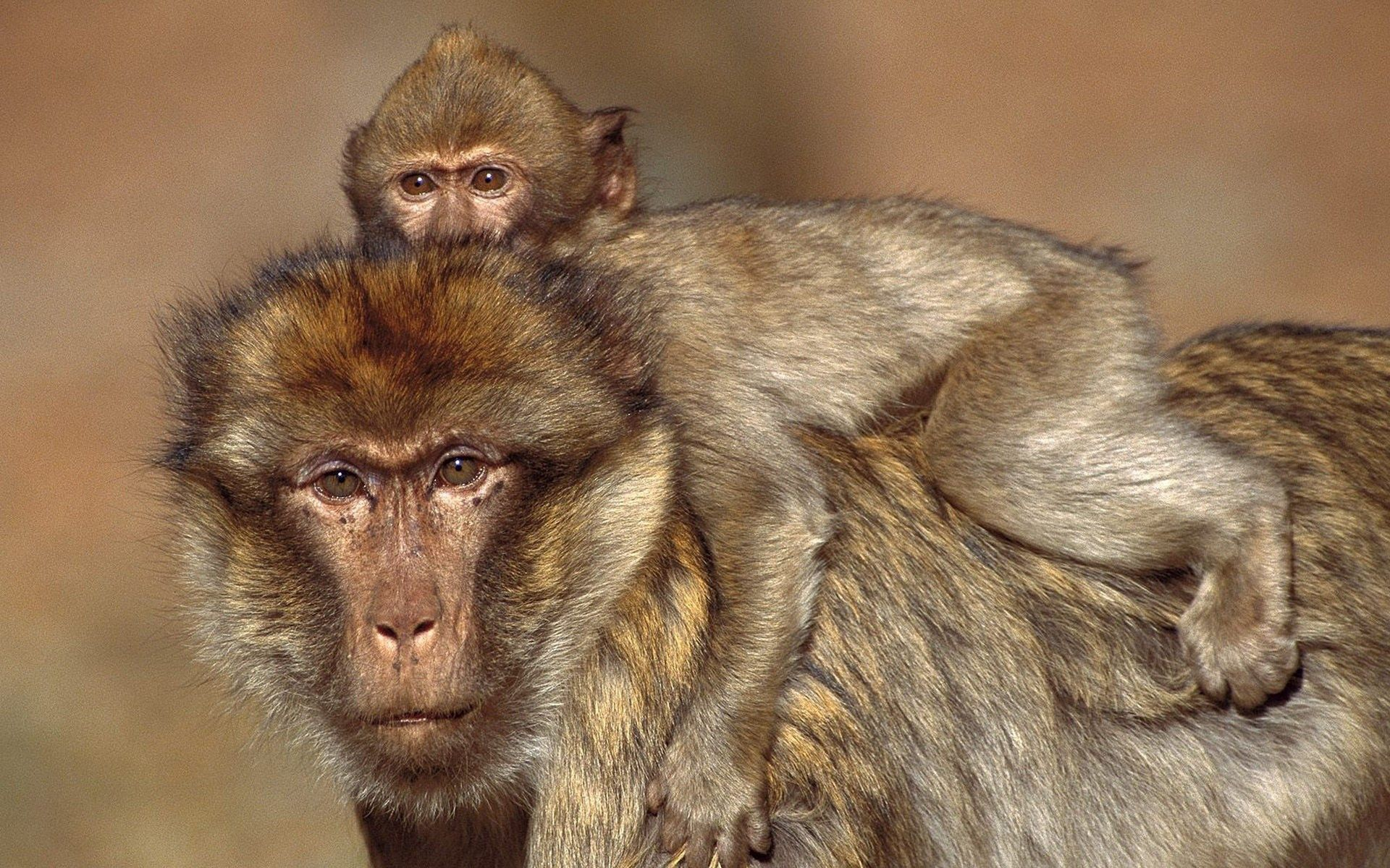130570 Screensavers and Wallpapers Monkeys for phone. Download Animals, Monkeys, Young, Family, Kid, Tot, Care, Joey pictures for free