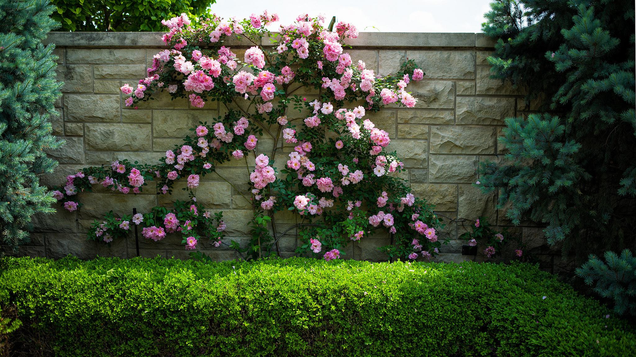 16332 скачать обои Растения, Цветы, Розы - заставки и картинки бесплатно