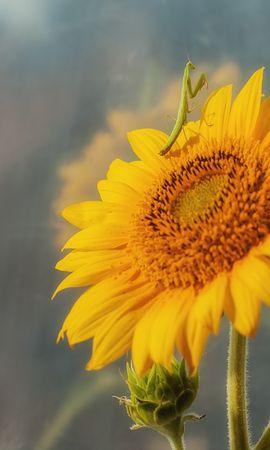 27625 Salvapantallas y fondos de pantalla Insectos en tu teléfono. Descarga imágenes de Plantas, Insectos, Girasoles gratis