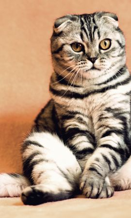 126498 Screensavers and Wallpapers Funny for phone. Download Animals, Scottish Fold Cat, Scottish Fold-Up Cat, Cat, Is Sitting, Sits, Cool, Funny, Amusingly pictures for free