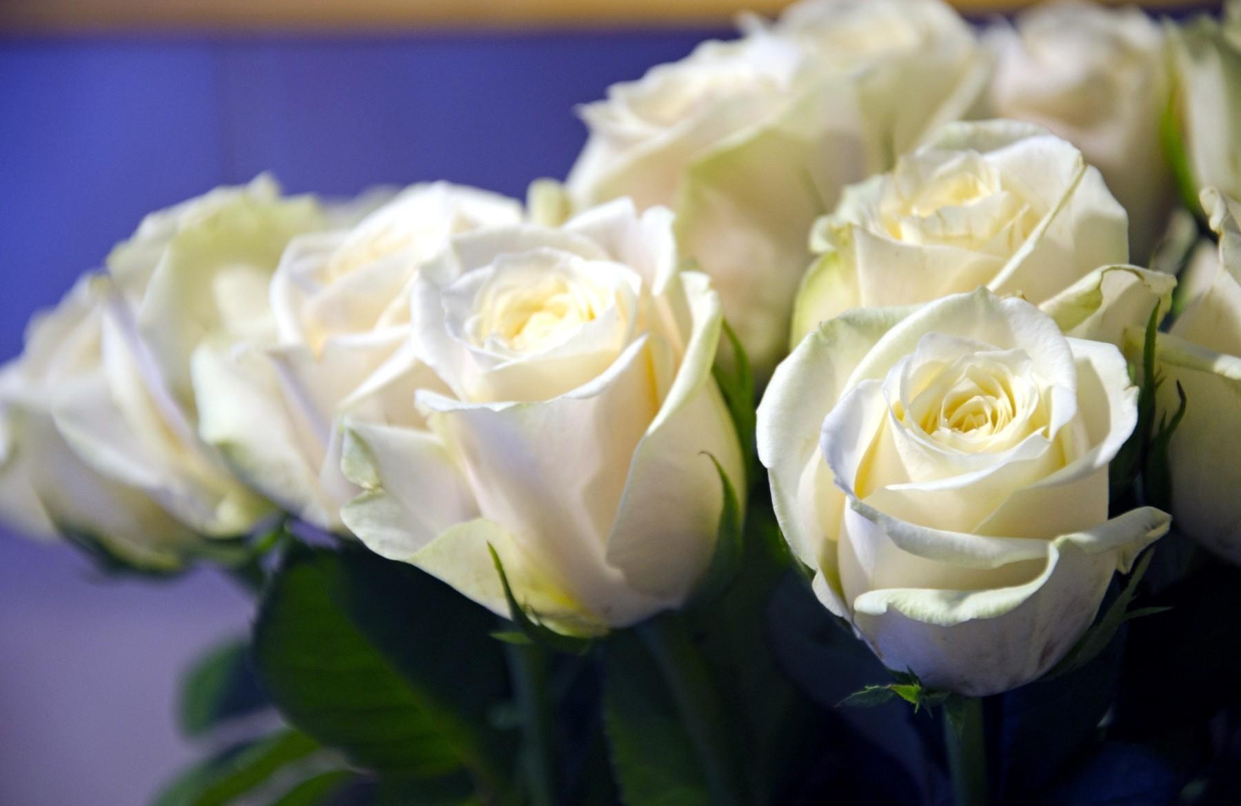 71302 Hintergrundbild herunterladen Blumen, Roses, Nahaufnahme, Strauß, Bouquet, Nahansicht, Knospen, Schneewittchen - Bildschirmschoner und Bilder kostenlos