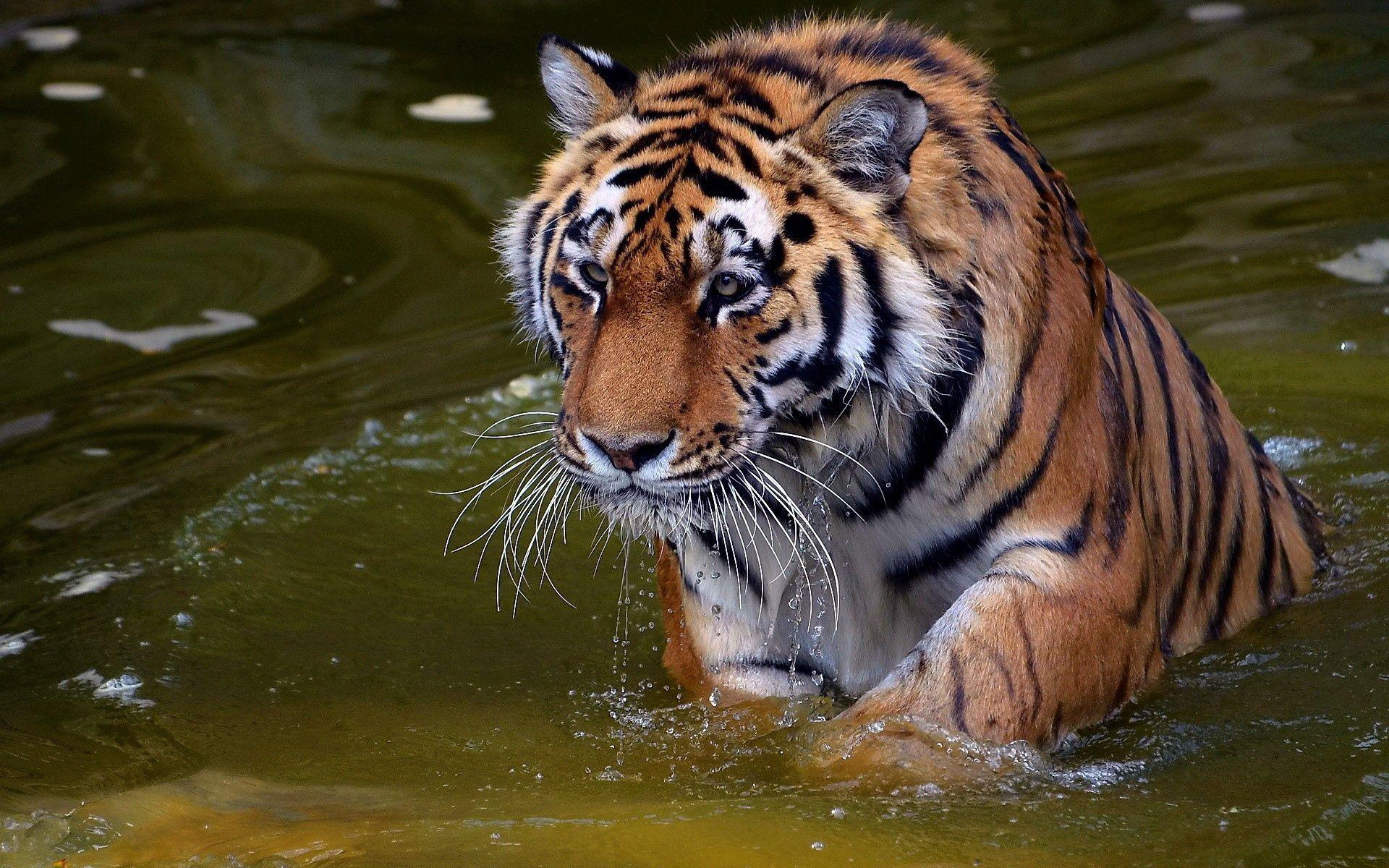 151364 download wallpaper Animals, Tiger, To Swim, Swim, Water, Rivers, Stroll, Big Cat screensavers and pictures for free