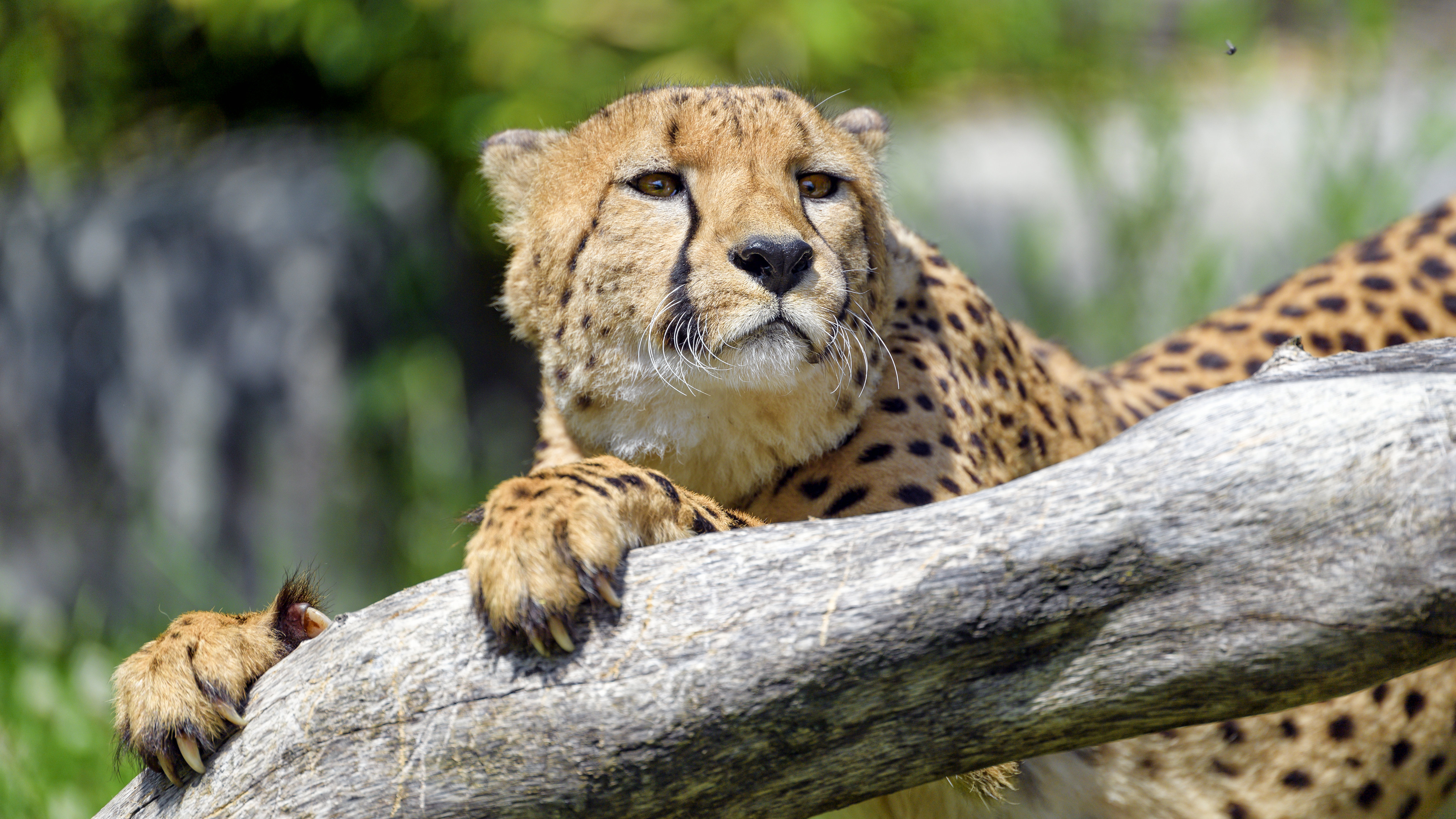 51949 download wallpaper Animals, Cheetah, Wood, Tree, Muzzle, Predator, Big Cat, Sight, Opinion screensavers and pictures for free