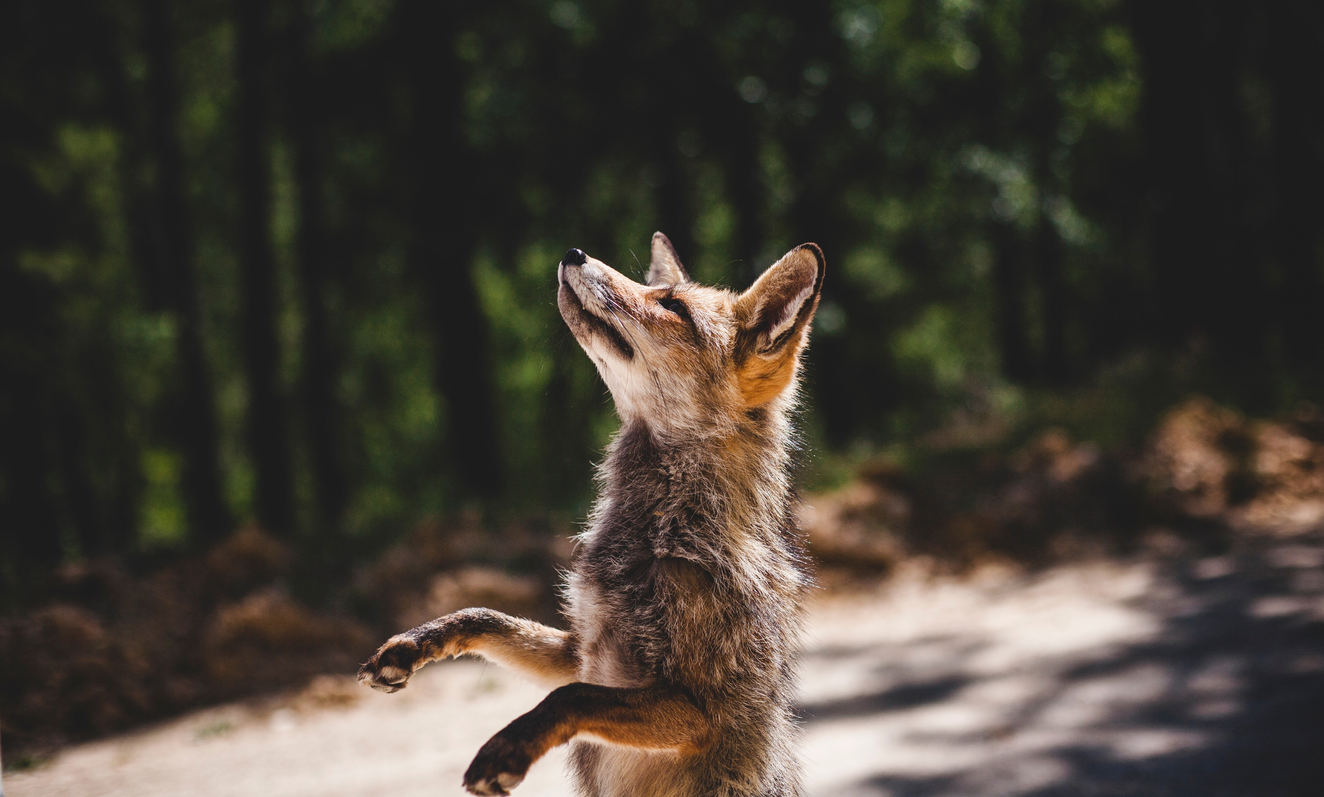 154730 Screensavers and Wallpapers Fox for phone. Download Animals, Fox, Predator, Worth pictures for free