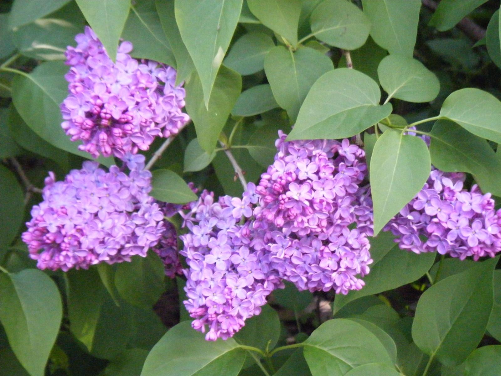 7446 скачать обои Растения, Цветы, Сирень - заставки и картинки бесплатно