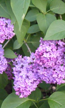 7446 download wallpaper Plants, Flowers, Lilac screensavers and pictures for free