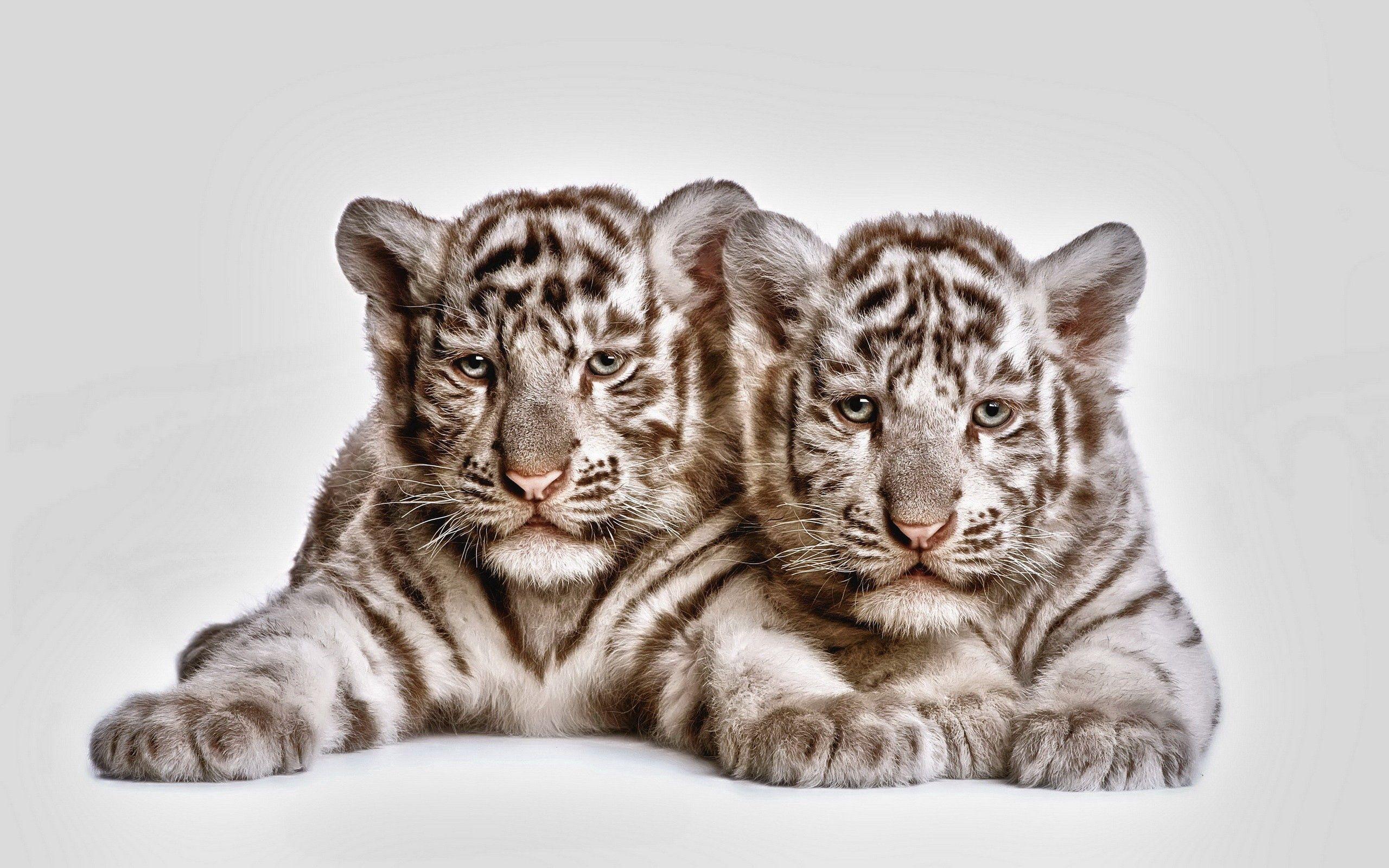 123982 économiseurs d'écran et fonds d'écran Tigres sur votre téléphone. Téléchargez Animaux, Tigres, Jeune, Coupler, Paire, Museau, Muselière, Oursons, Petits Tigres images gratuitement