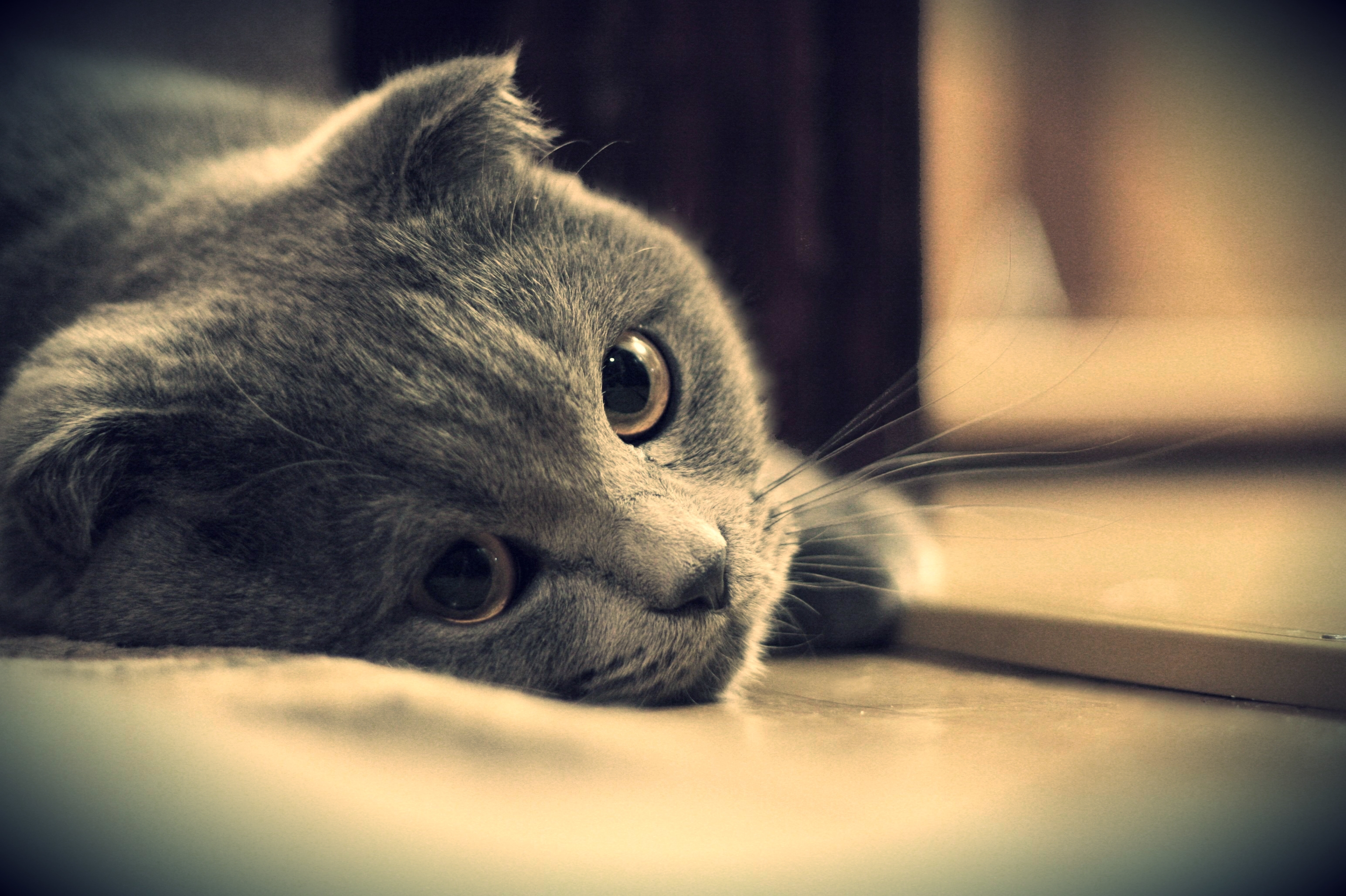 108130 download wallpaper Animals, Cat, Briton, Kote, Grey, Eyes, British, Sight, Opinion screensavers and pictures for free