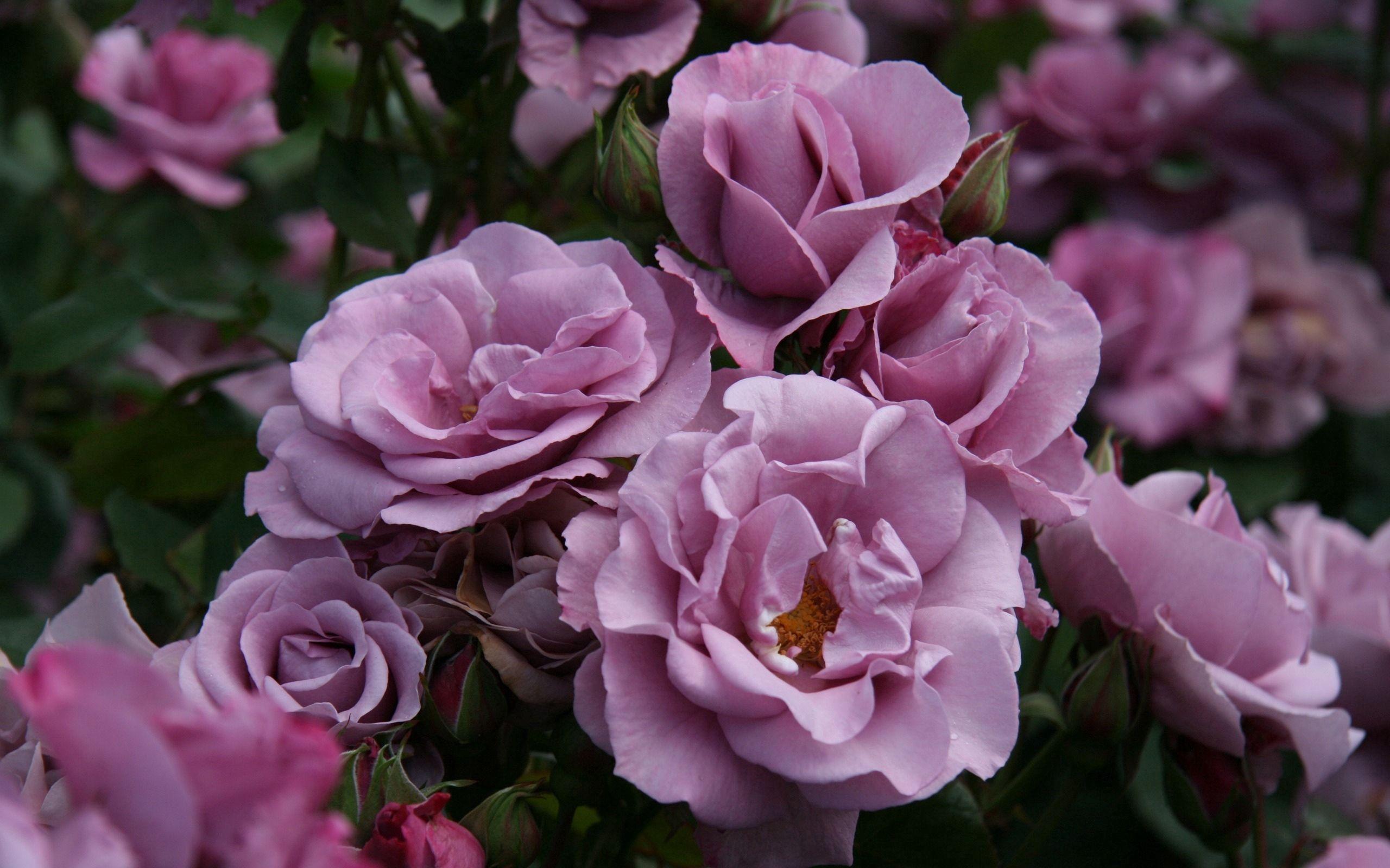 87068 скачать обои Цветы, Куст, Бутоны, Листья, Сад, Розы - заставки и картинки бесплатно