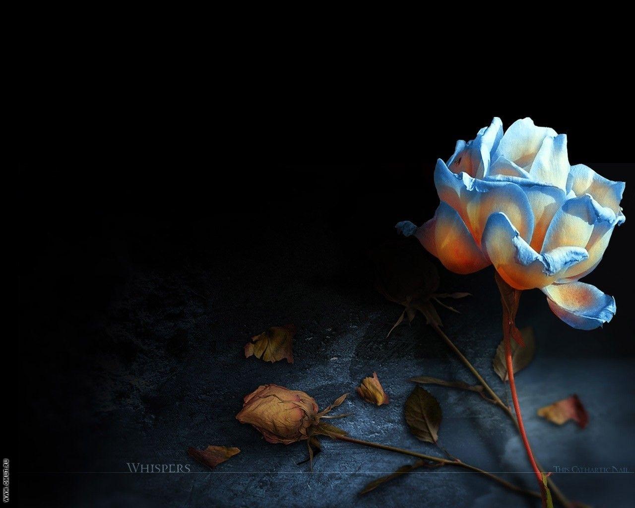 5803 скачать обои Растения, Цветы, Розы - заставки и картинки бесплатно