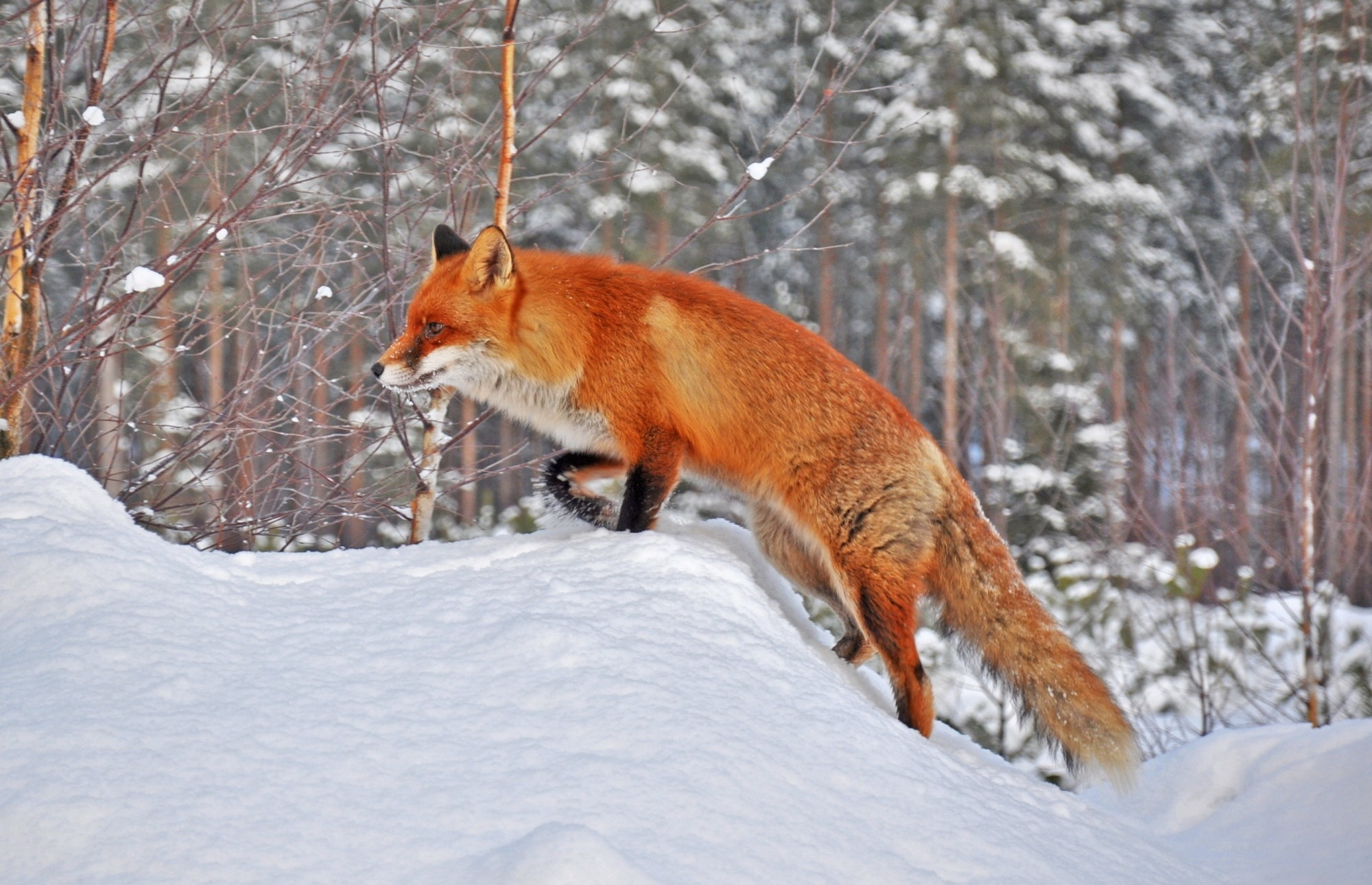 102067 Screensavers and Wallpapers Fox for phone. Download Animals, Winter, Snow, Fox, Forest pictures for free