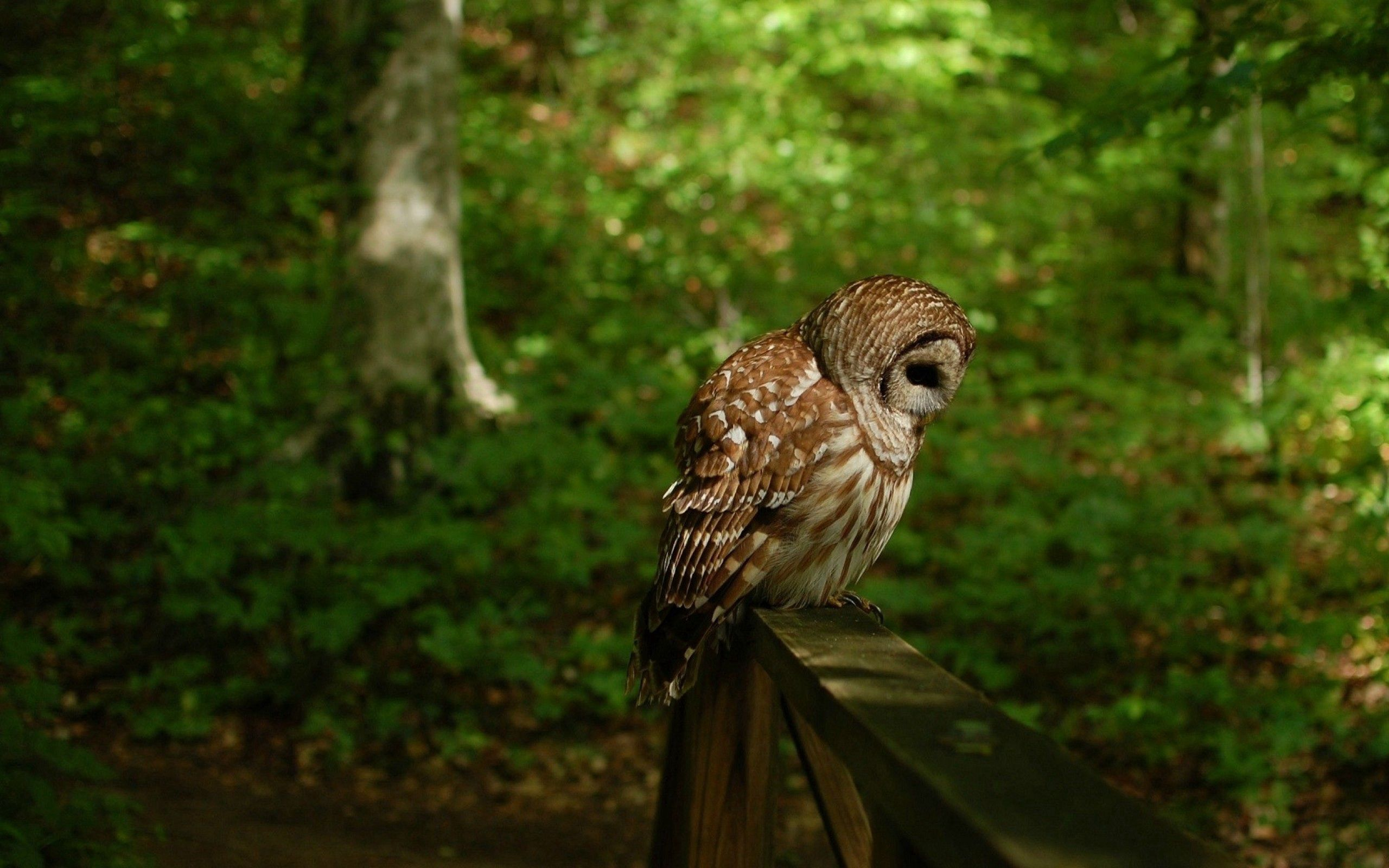 70761 Screensavers and Wallpapers Owl for phone. Download Animals, Owl, Bird, Predator, Forest pictures for free