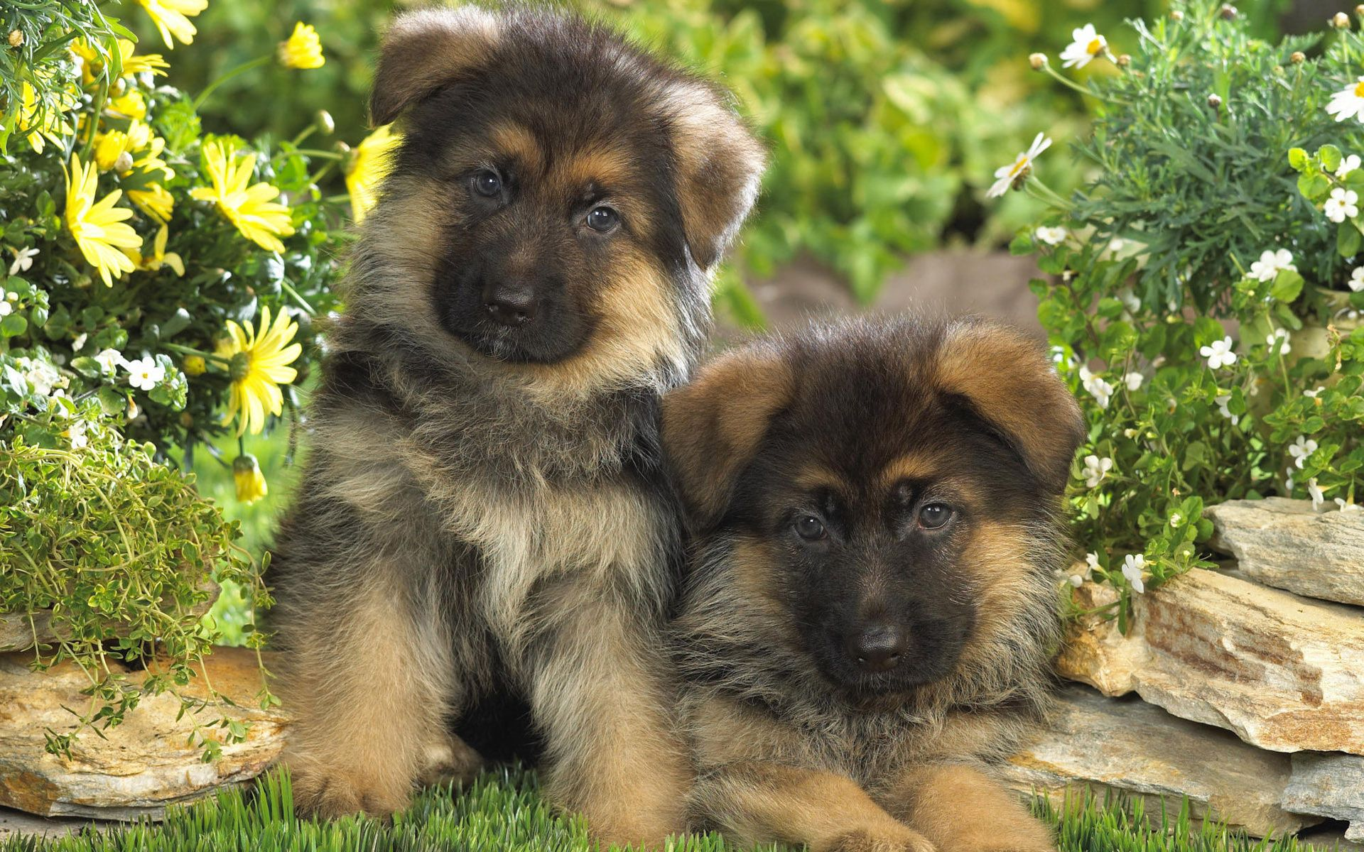 52823 download wallpaper Animals, Grass, Couple, Pair, Spotted, Spotty, Puppies, German Shepherd screensavers and pictures for free