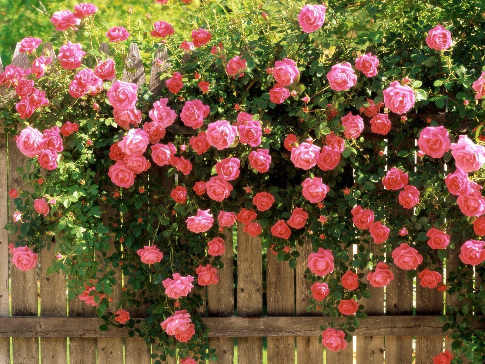 105306 скачать обои Цветы, Забор, Зелень, Розы - заставки и картинки бесплатно