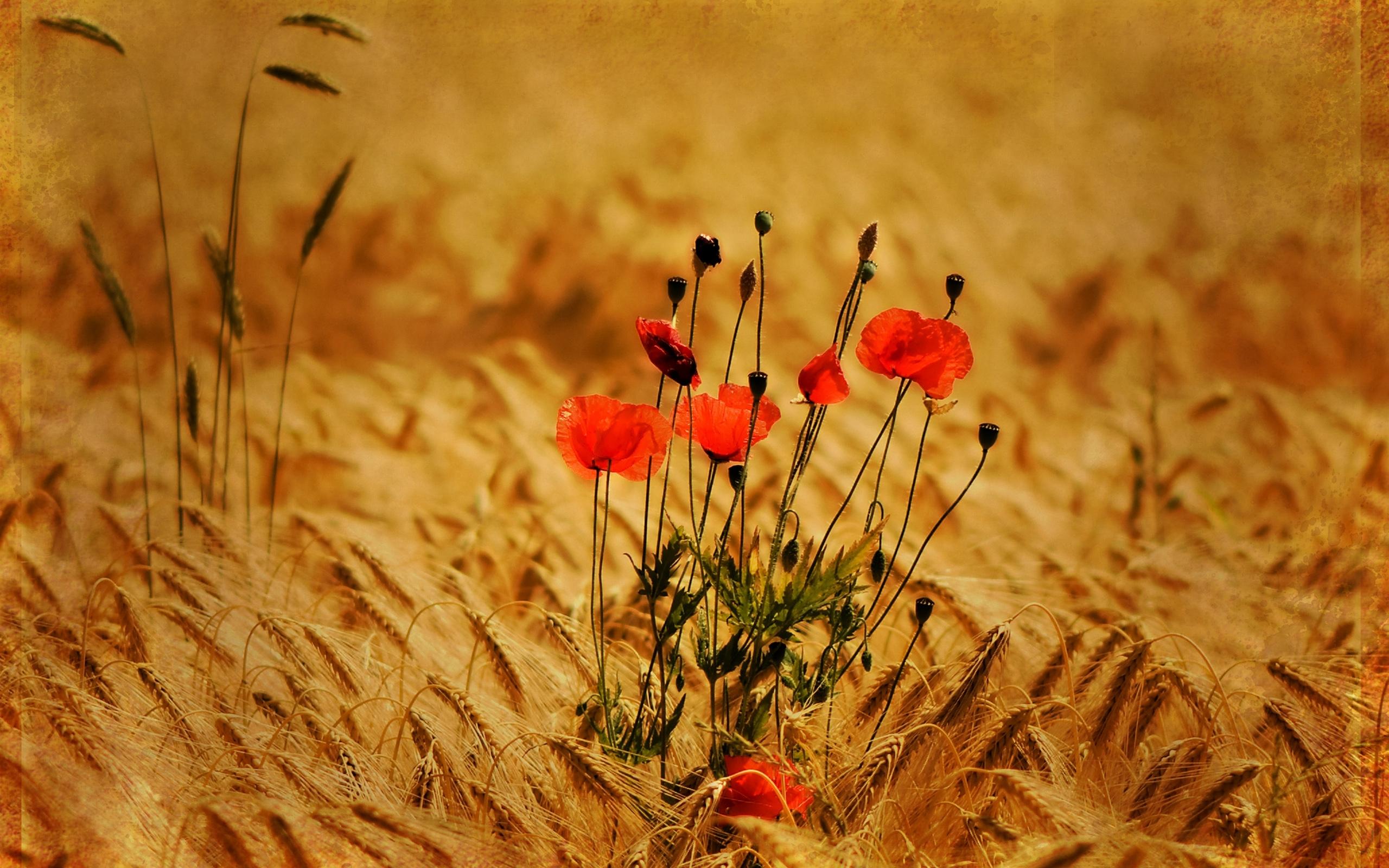 40651 скачать обои Растения, Цветы, Маки - заставки и картинки бесплатно