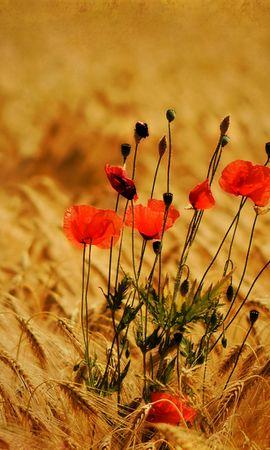 40651 descargar fondo de pantalla Plantas, Flores, Amapolas: protectores de pantalla e imágenes gratis