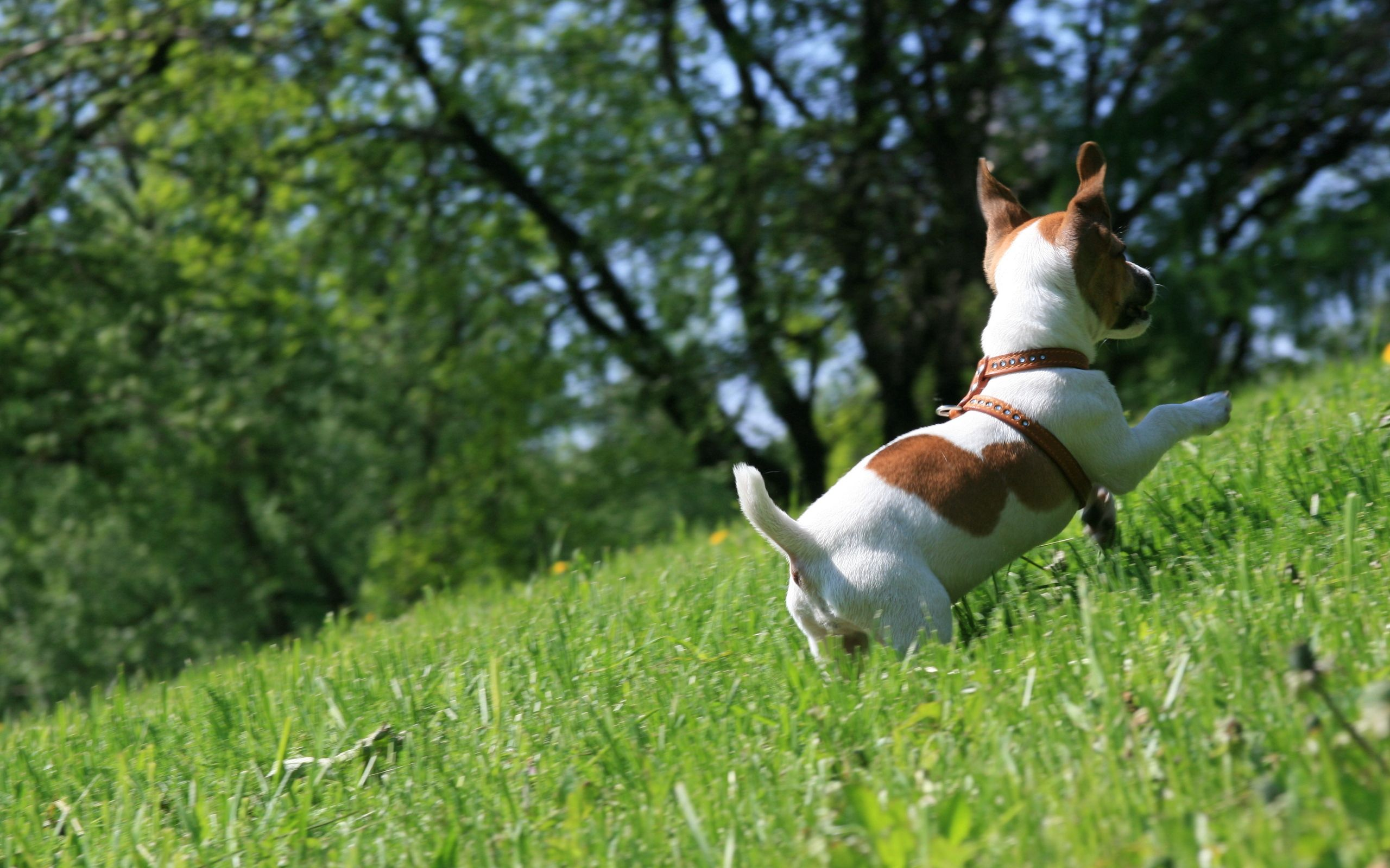 120638 download wallpaper Animals, Dog, Grass, Puppy, Play, Bounce, Jump screensavers and pictures for free