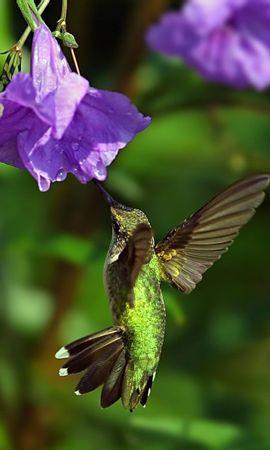 2632 descargar fondo de pantalla Animales, Birds, Colibríes: protectores de pantalla e imágenes gratis
