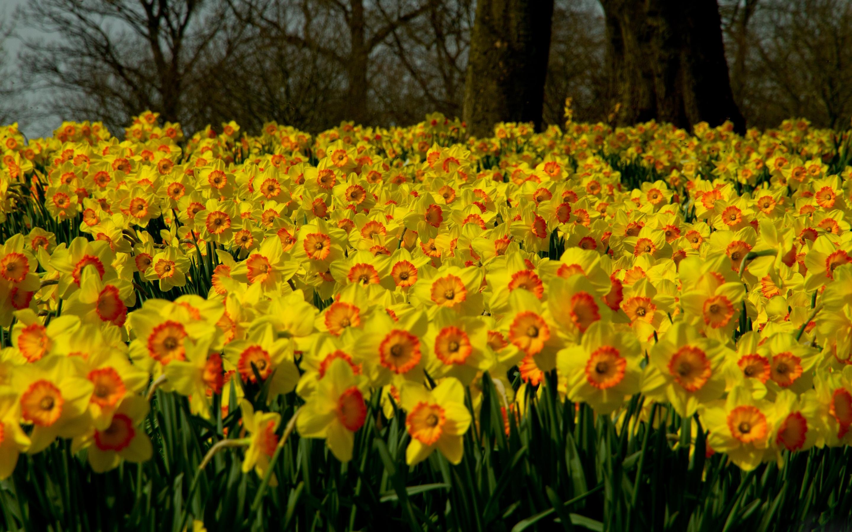 137924 Заставки и Обои Нарциссы на телефон. Скачать Природа, Цветы, Нарциссы, Растение, Много картинки бесплатно