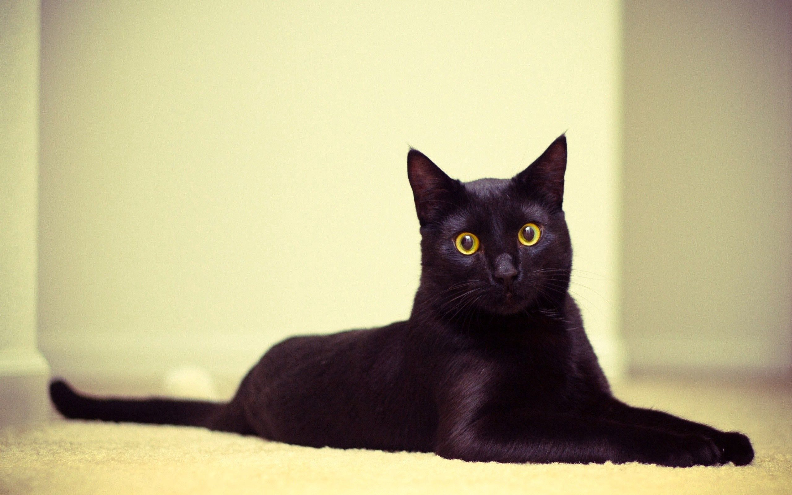 150698 download wallpaper Animals, Cat, Black Cat, To Lie Down, Lie, Beautiful screensavers and pictures for free