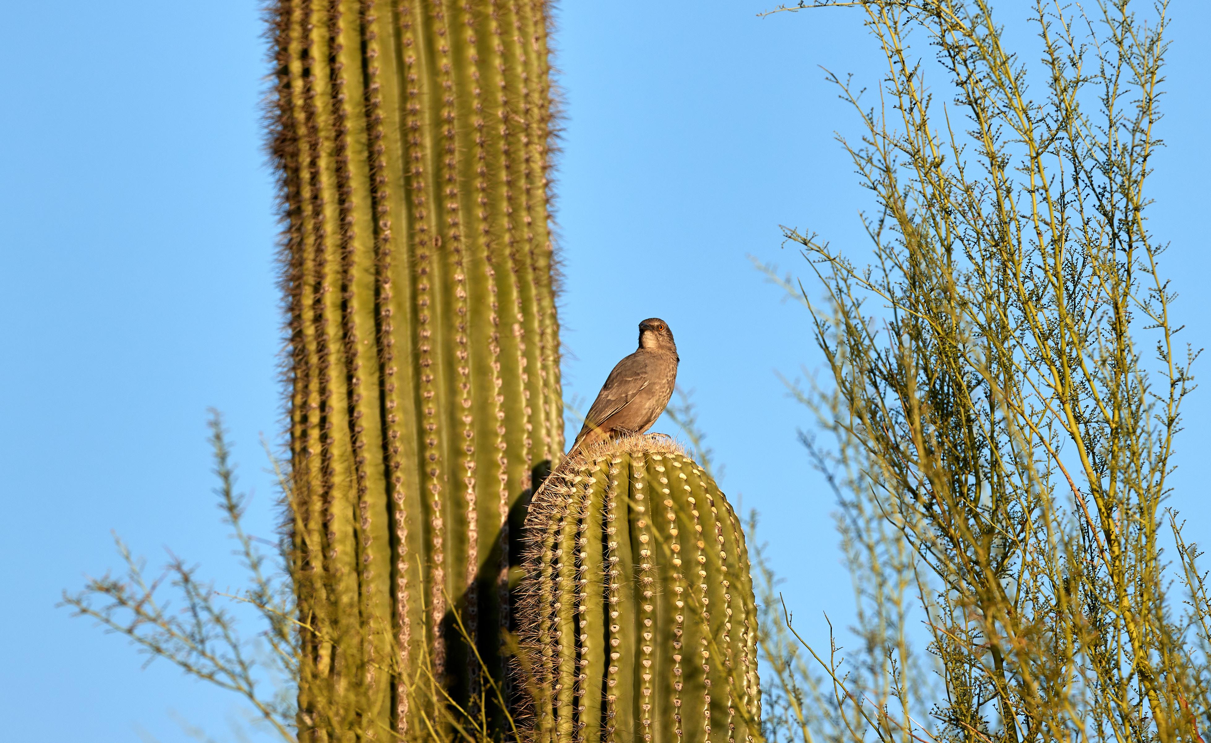 107756 descargar fondo de pantalla Animales, Pájaro, Cactus, Cacto, Espinas, Cielo: protectores de pantalla e imágenes gratis