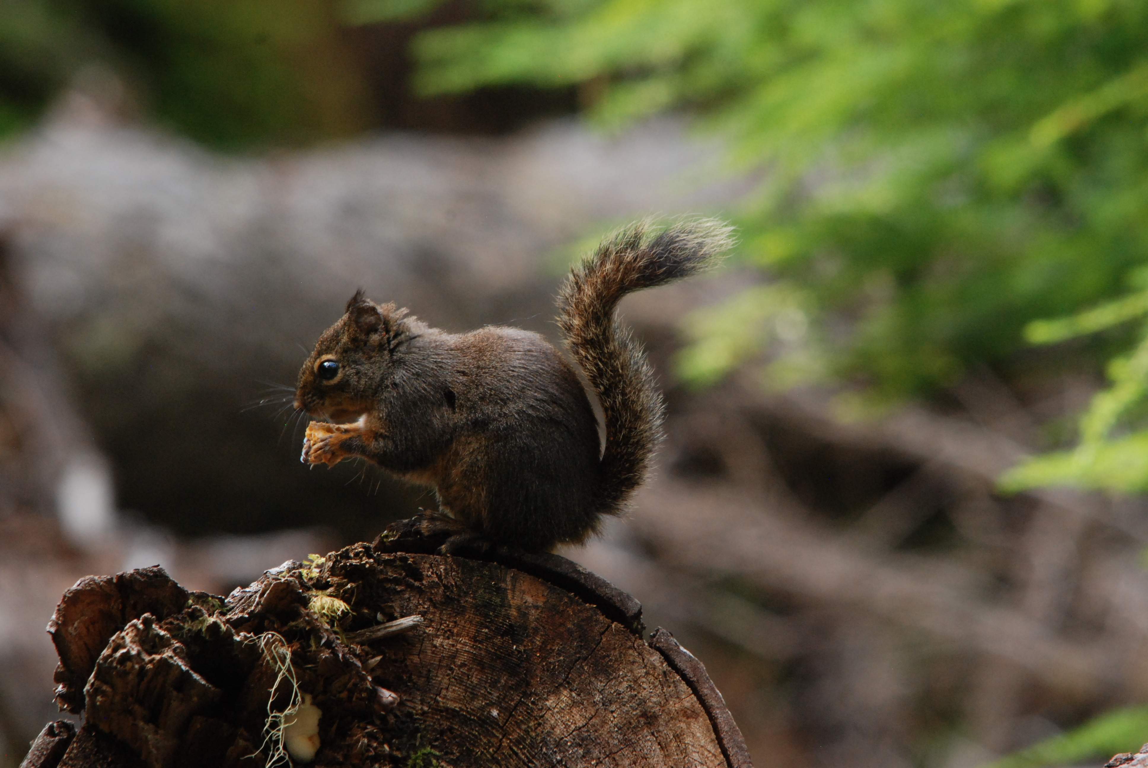 119110 Screensavers and Wallpapers Squirrel for phone. Download Animals, Squirrel, Food, Fluffy, Tail pictures for free