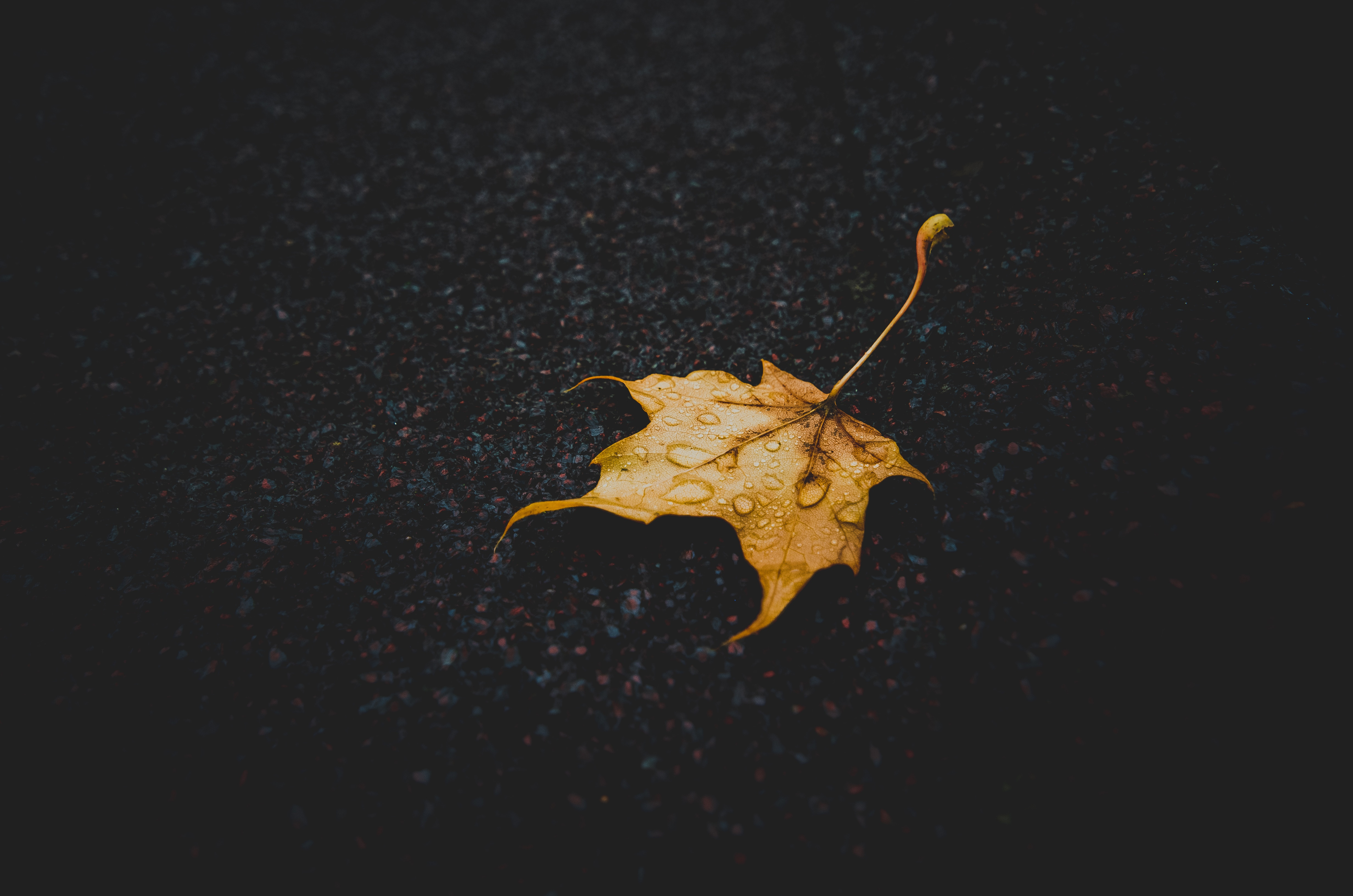 53195 download wallpaper Dark, Sheet, Leaf, Maple, Dry, Fallen, Drops screensavers and pictures for free