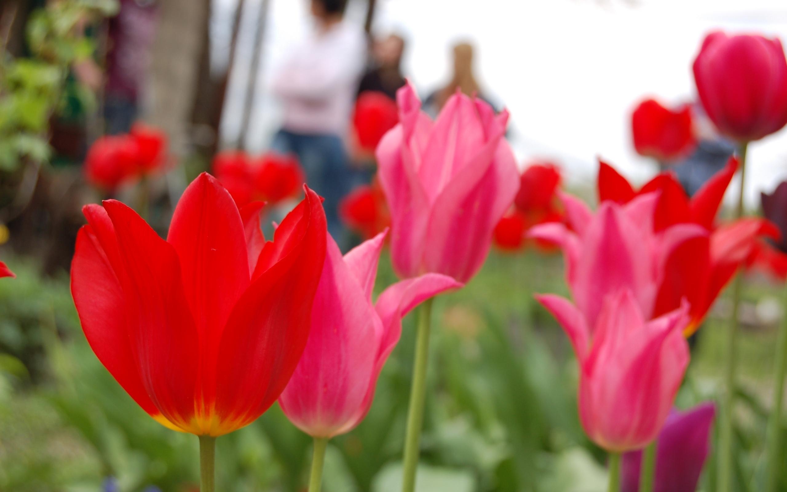 7053 скачать обои Растения, Цветы, Тюльпаны - заставки и картинки бесплатно