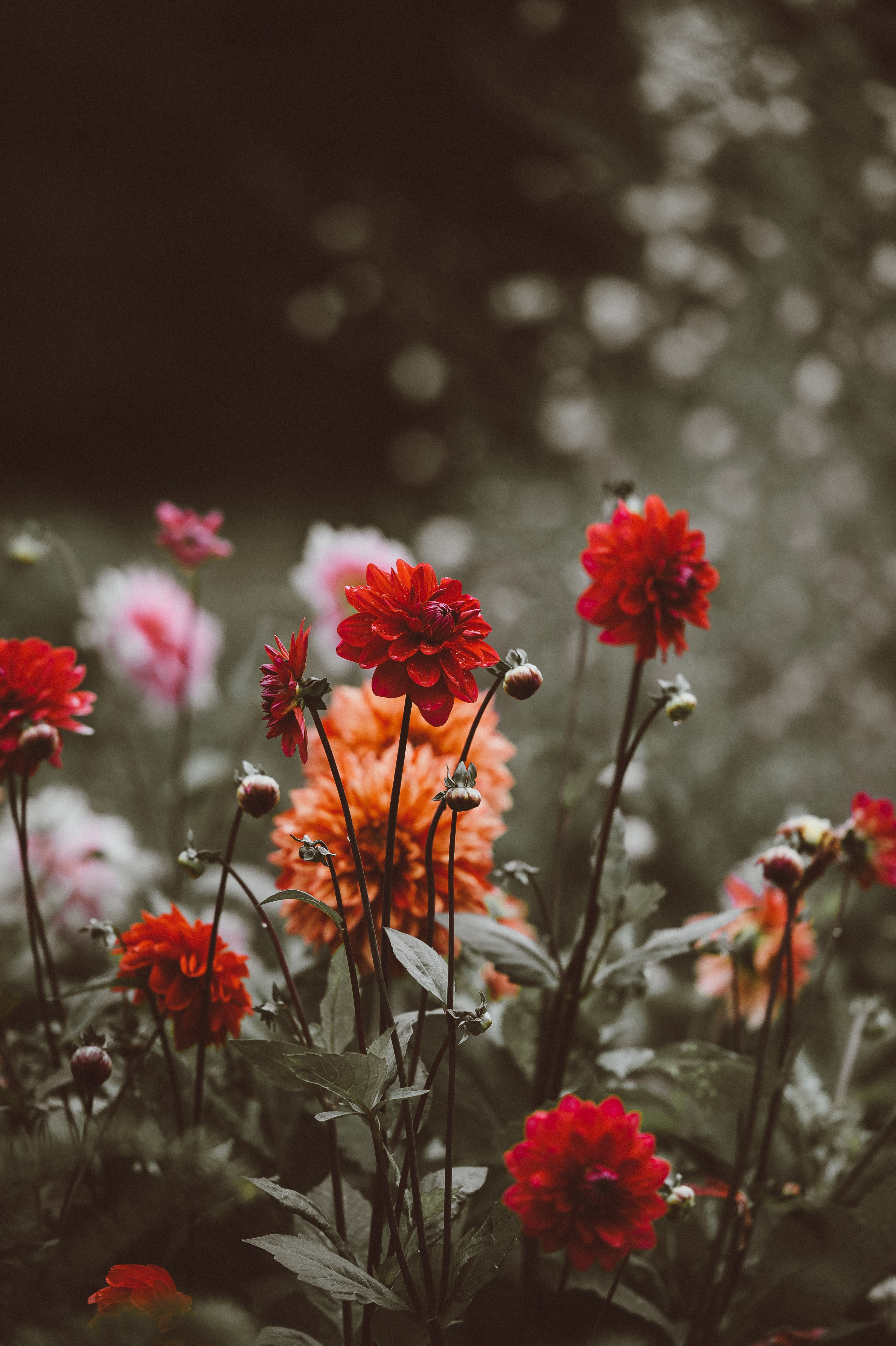 73971 Screensavers and Wallpapers Flower Bed for phone. Download Flowers, Bloom, Flowering, Flower Bed, Flowerbed, Dahlias, Buds pictures for free