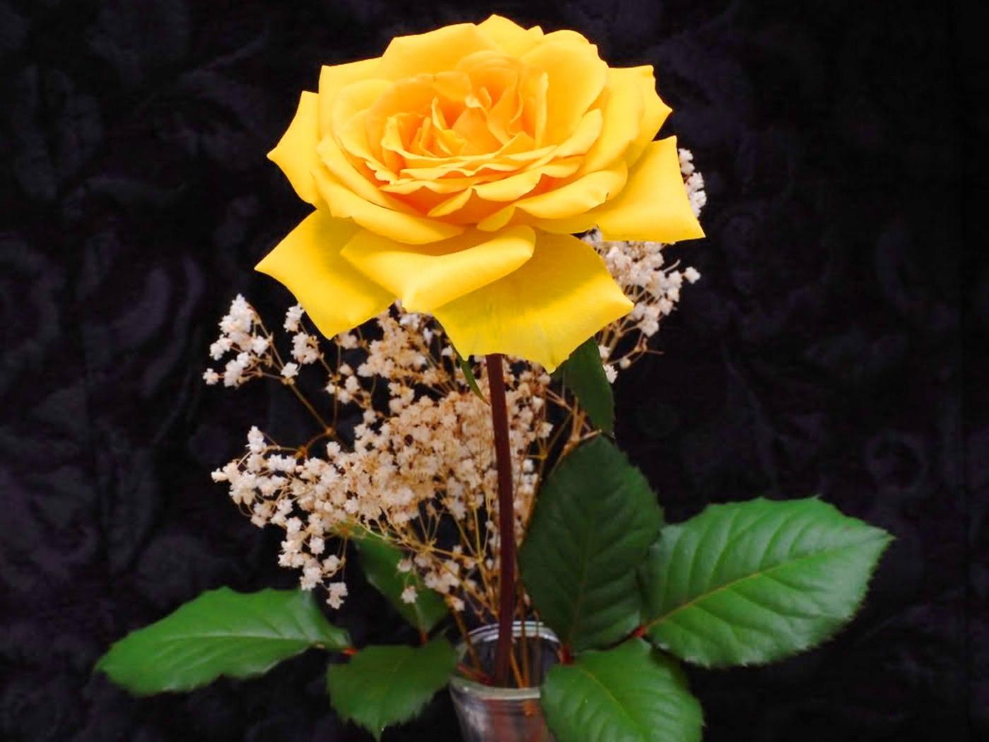 44967 скачать обои Растения, Цветы, Розы - заставки и картинки бесплатно