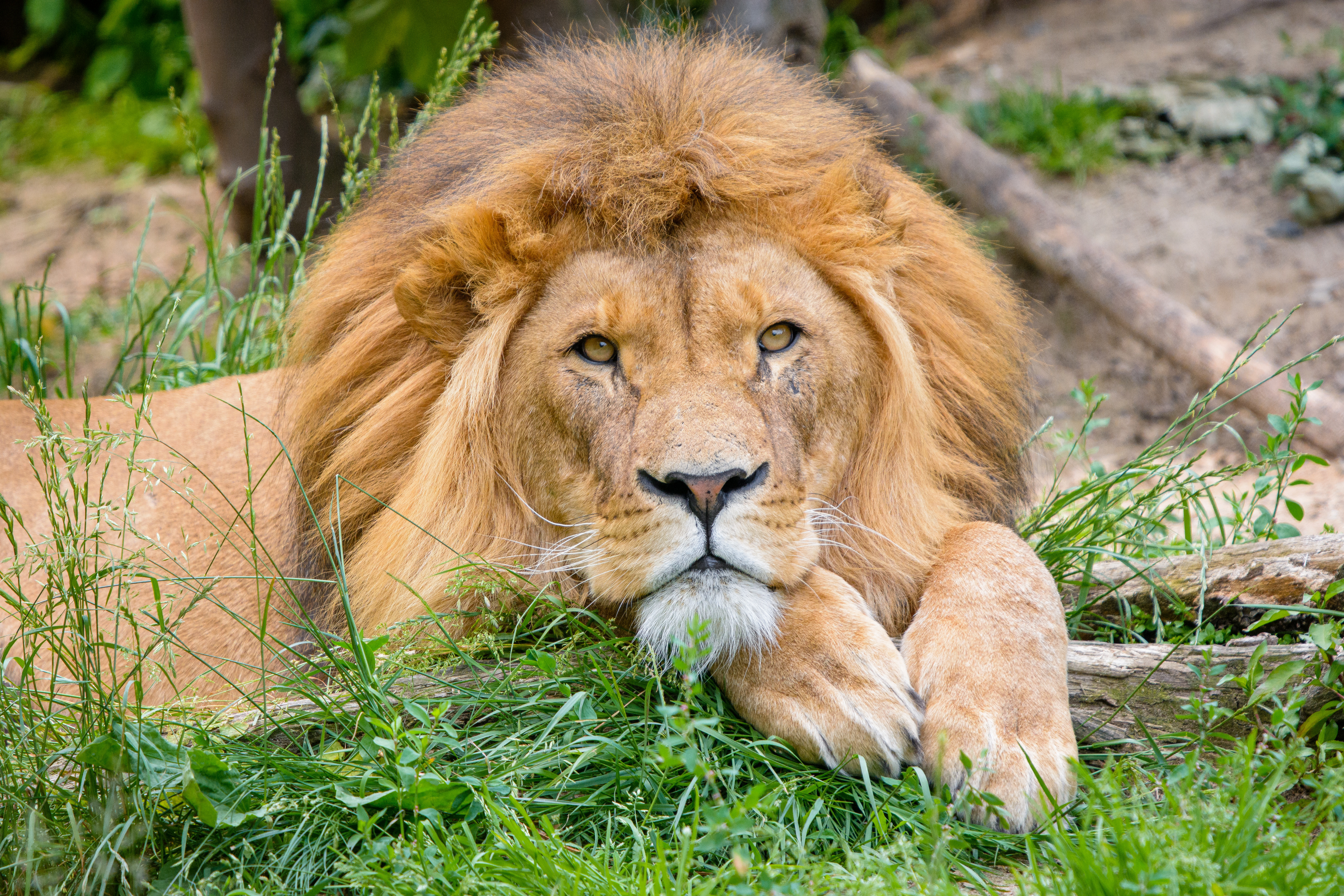 126720 download wallpaper Animals, Lion, Big Cat, Nice, Sweetheart, Mane screensavers and pictures for free