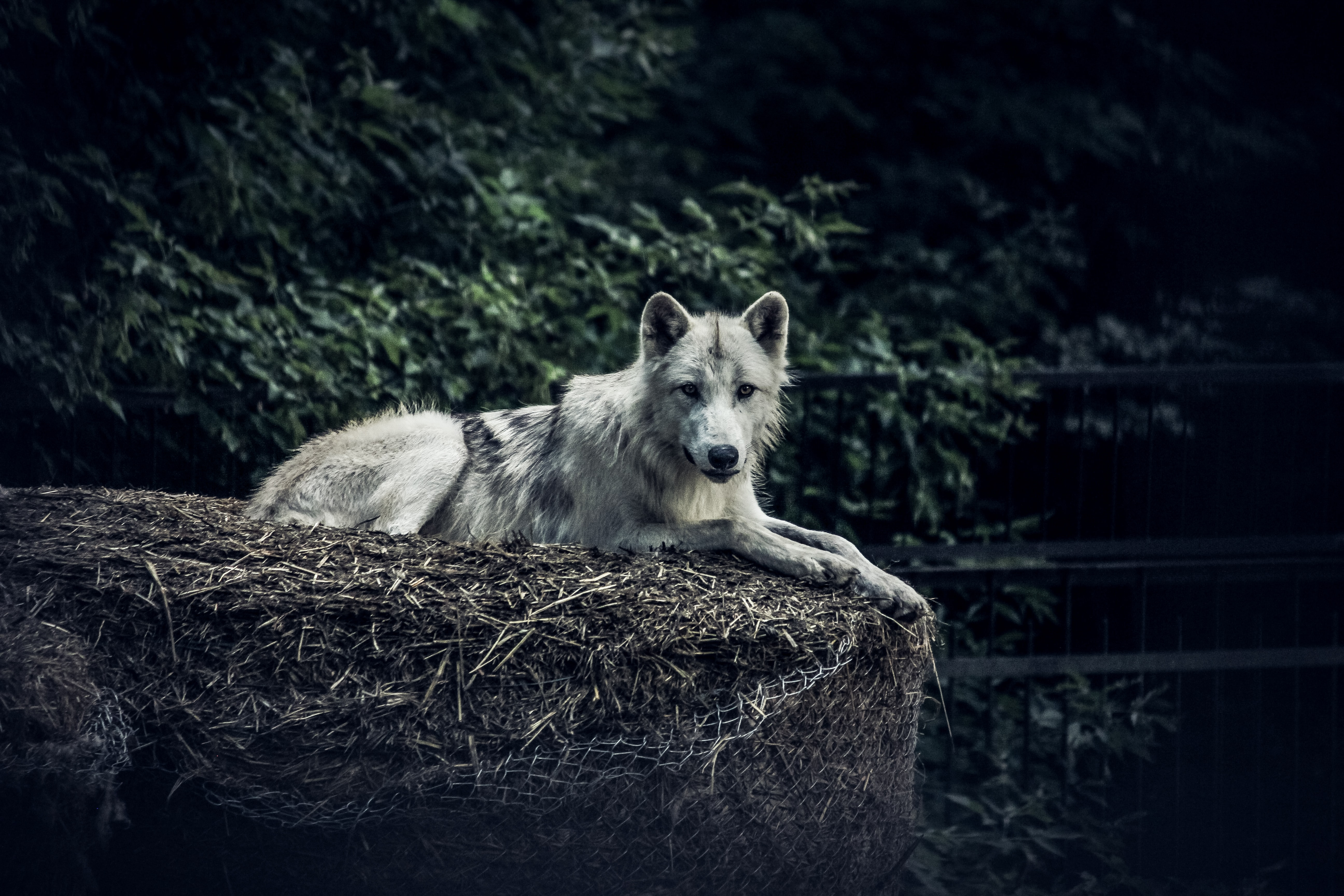 124690 download wallpaper Animals, Wolf, Predator, Sight, Opinion, Animal, Hay screensavers and pictures for free