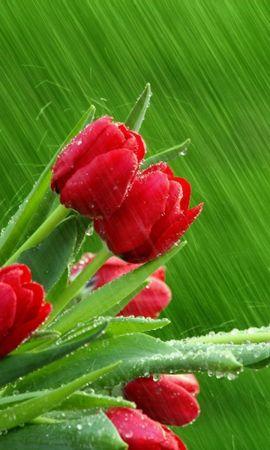 49050 скачать обои Растения, Цветы, Тюльпаны - заставки и картинки бесплатно