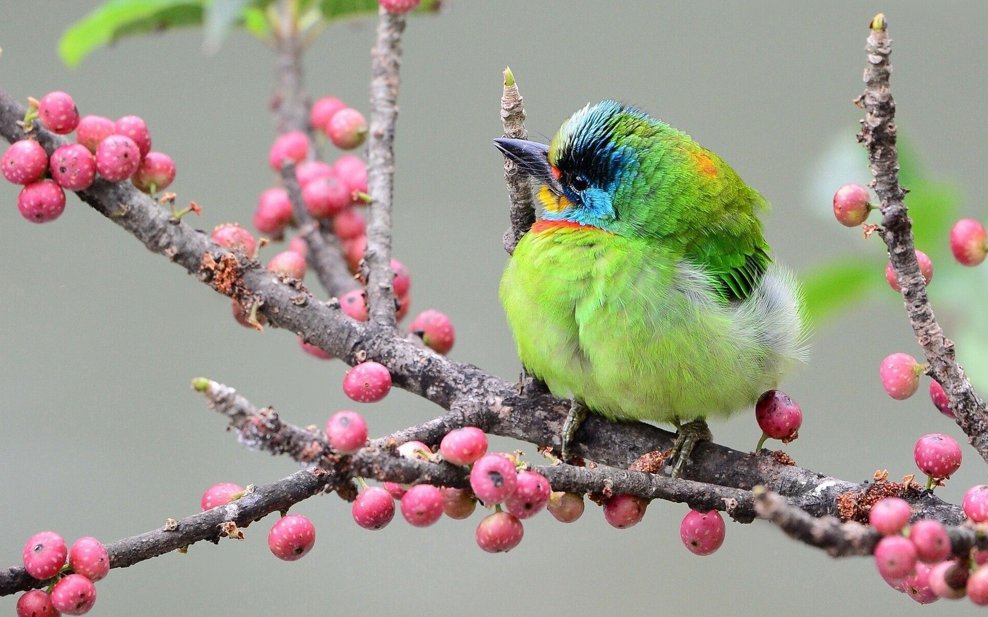116385 Screensavers and Wallpapers Bird for phone. Download Bird, Animals, Berries, Multicolored, Motley, Branch pictures for free