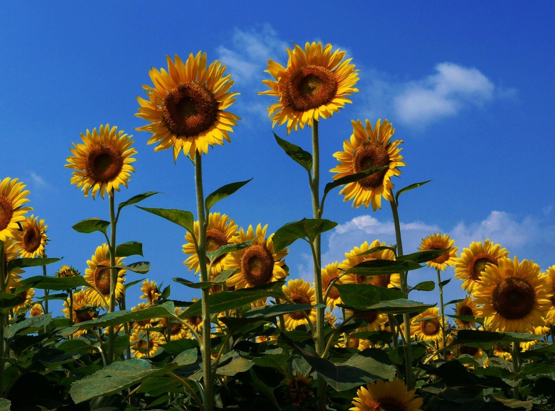 82135 скачать обои Цветы, Поле, Лето, Небо, Солнечно, Настроение, Подсолнухи - заставки и картинки бесплатно