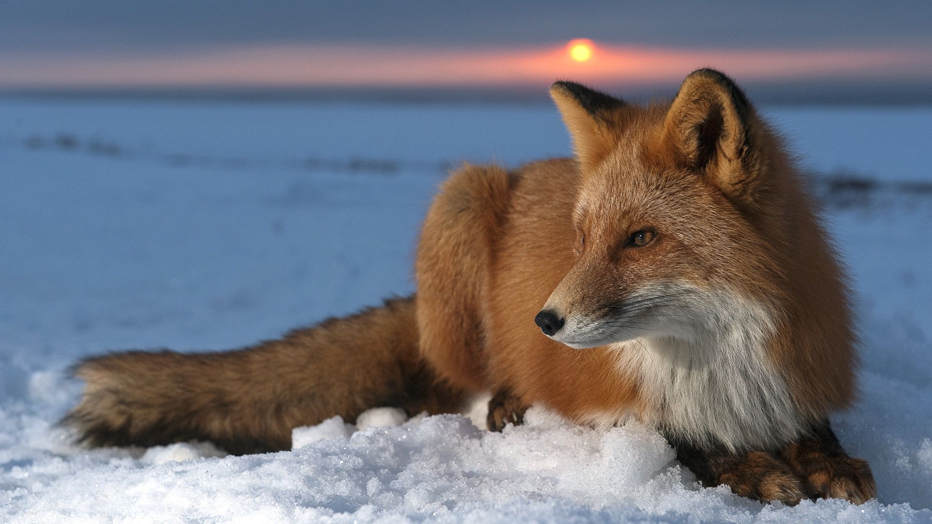152172 Screensavers and Wallpapers Fox for phone. Download Animals, Sky, Snow, Fox, Hunting, Hunt, Mindfulness, Attentiveness pictures for free