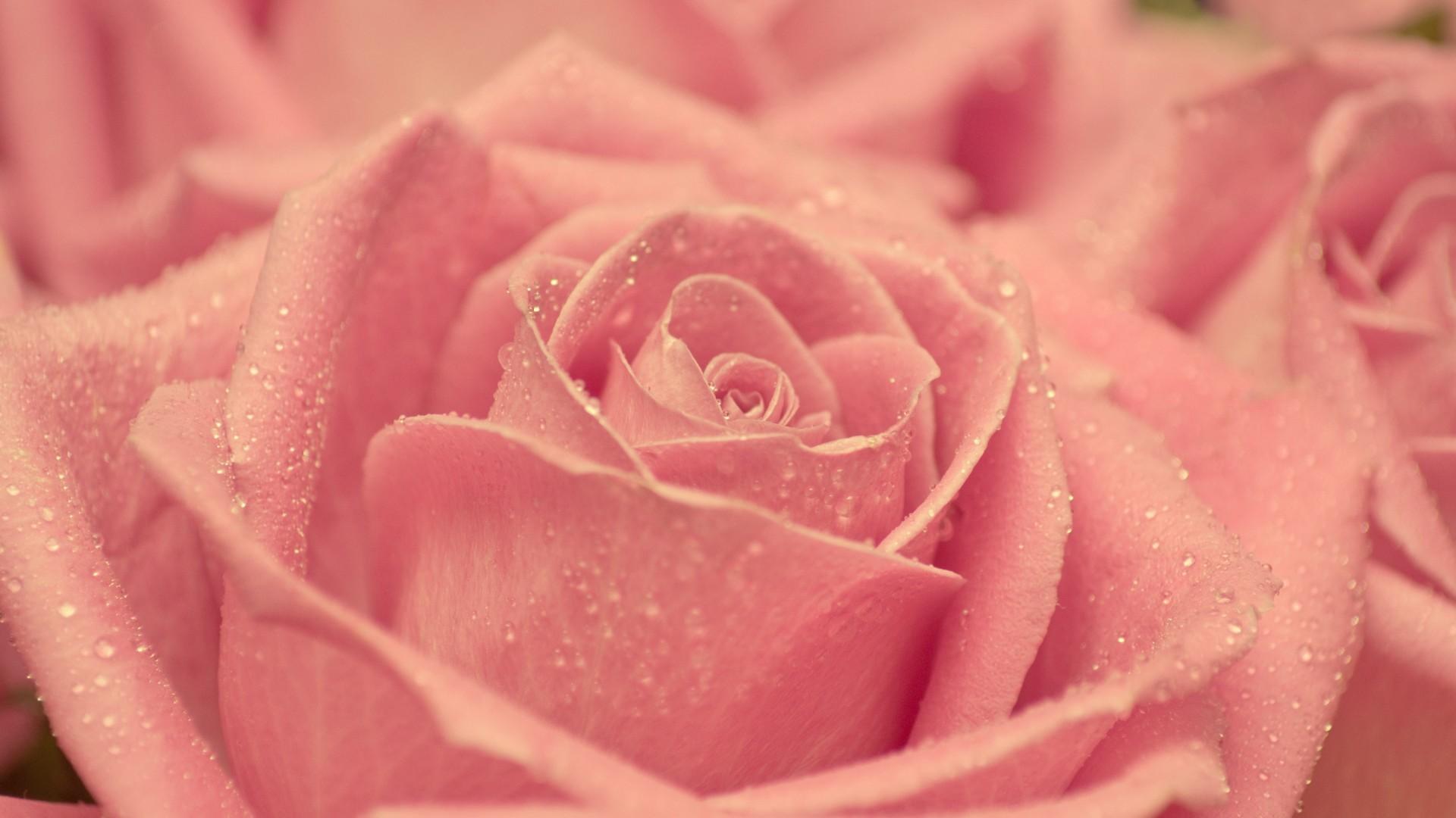 22827 télécharger le fond d'écran Plantes, Fleurs, Roses, Drops - économiseurs d'écran et images gratuitement