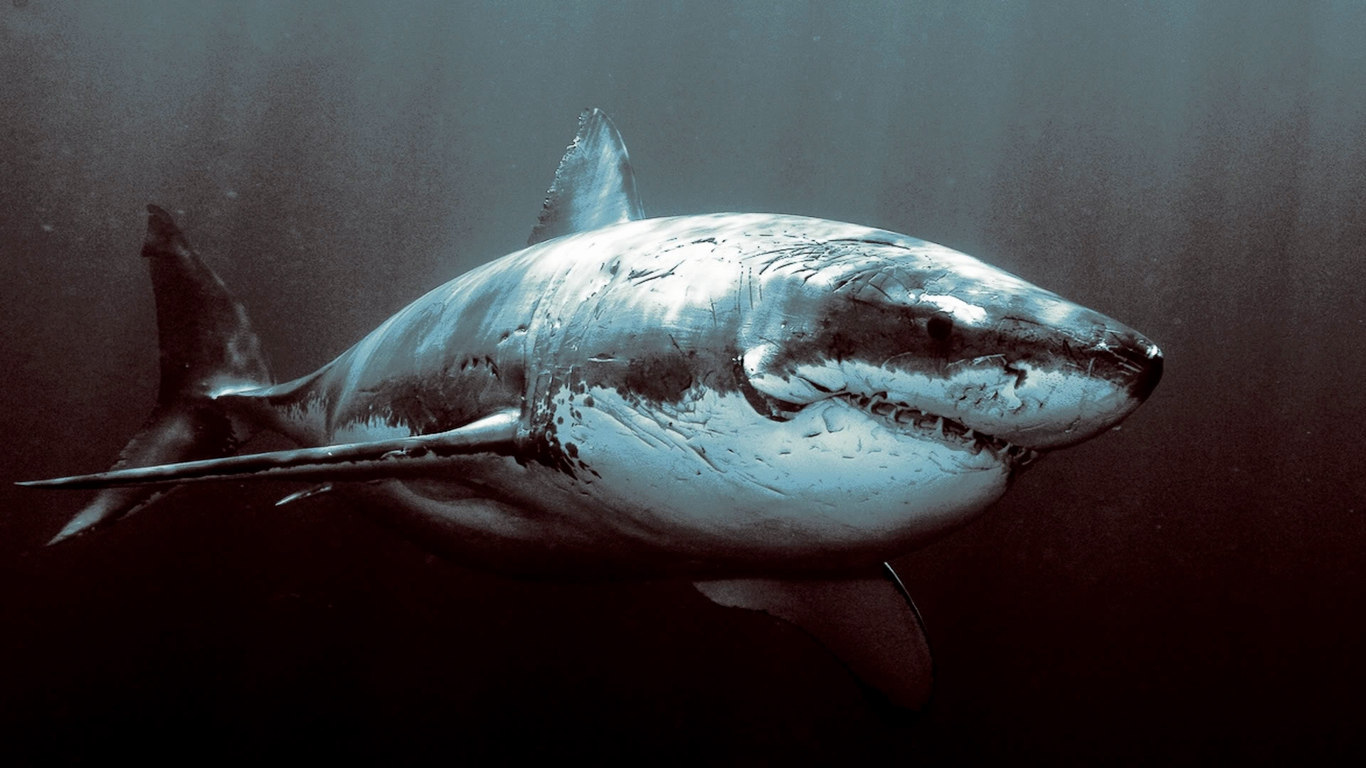 28044 download wallpaper Animals, Sea, Sharks screensavers and pictures for free