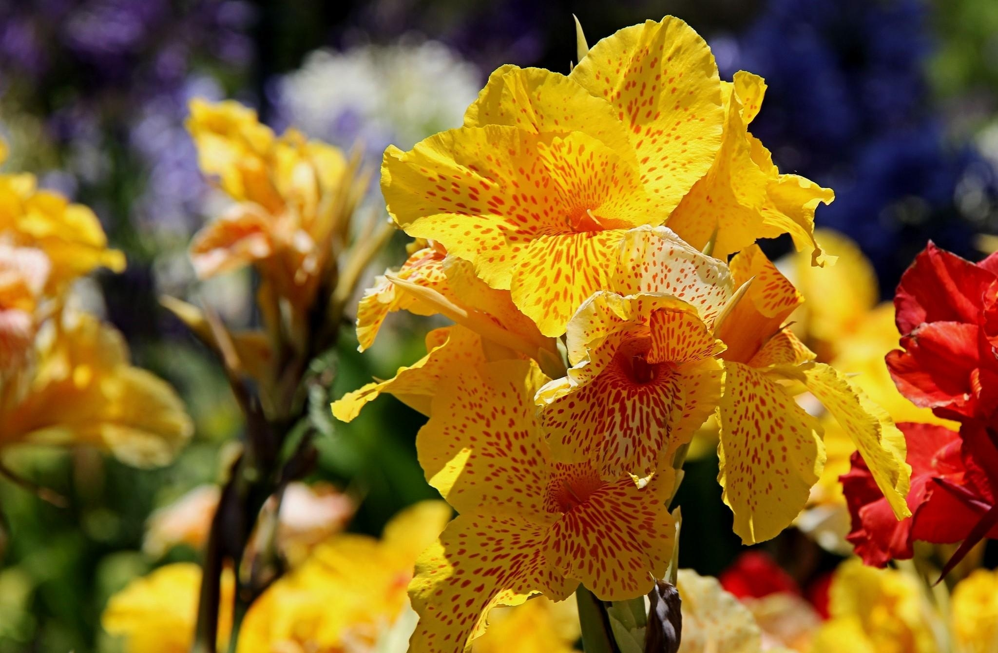 97288 download wallpaper Flowers, Canna, Spotted, Flower Bed, Flowerbed, Close-Up screensavers and pictures for free