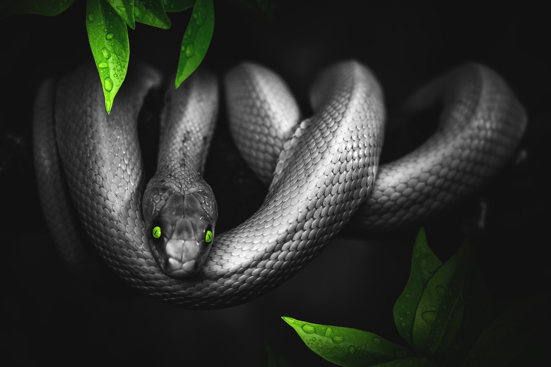 100501 télécharger le fond d'écran Animaux, Serpent, Photoshop, Photoshop,, Feuilles, Yeux, Reptile - économiseurs d'écran et images gratuitement