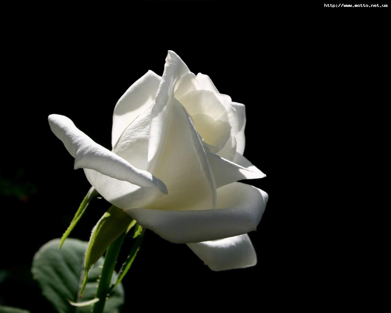 7111 скачать обои Растения, Цветы, Розы - заставки и картинки бесплатно