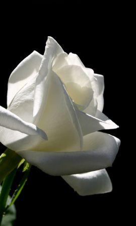 7111 télécharger le fond d'écran Plantes, Fleurs, Roses - économiseurs d'écran et images gratuitement