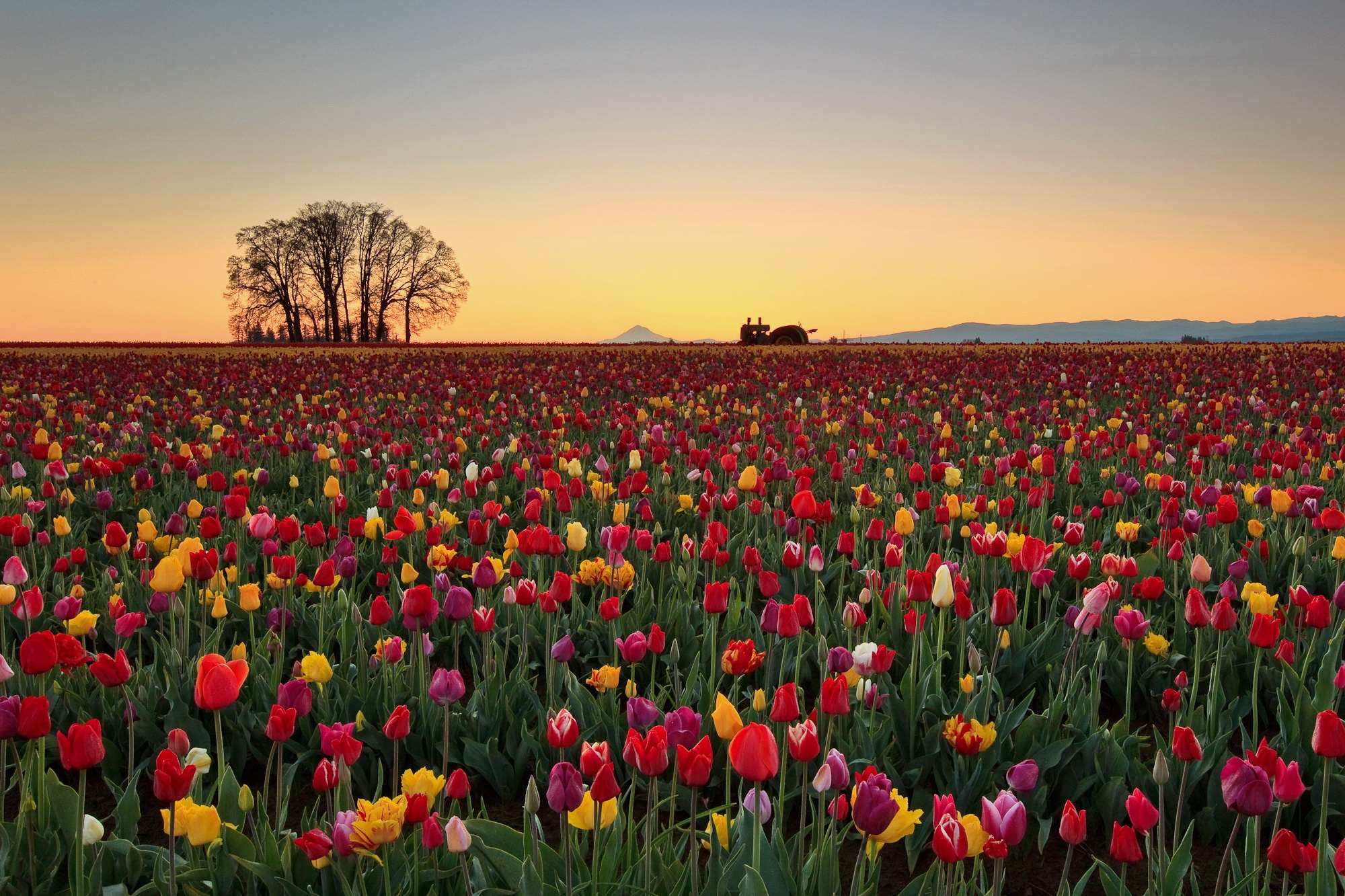74807 download wallpaper Nature, Flowers, Tulips, Horizon, Plantation screensavers and pictures for free