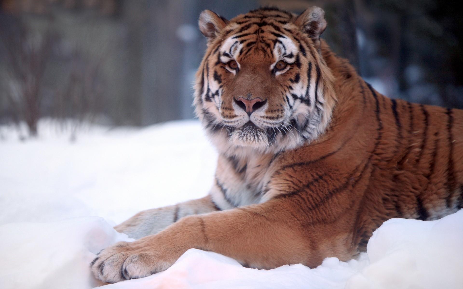 11065 descargar fondo de pantalla Animales, Tigres: protectores de pantalla e imágenes gratis