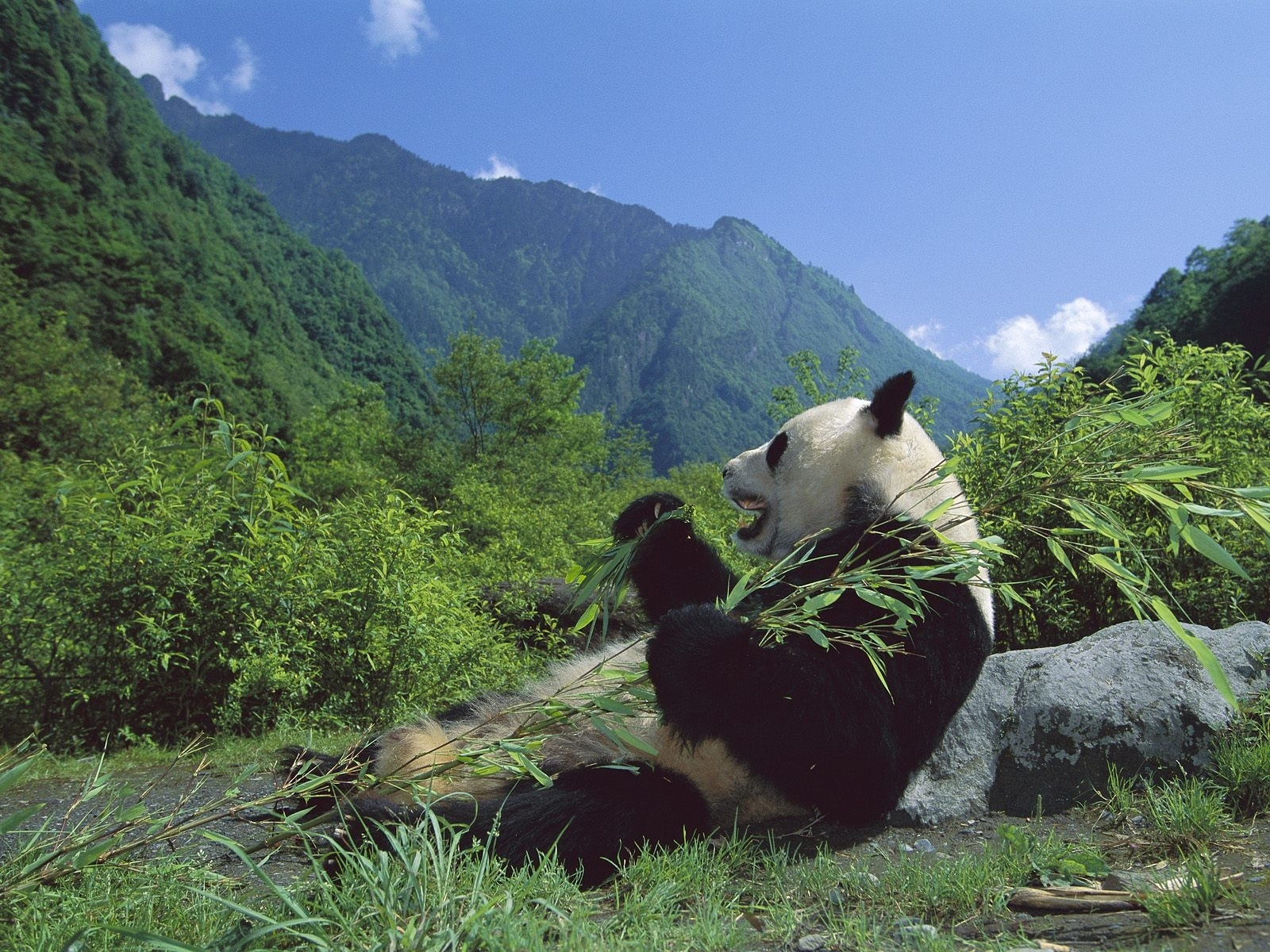 7065 download wallpaper Animals, Bears, Pandas screensavers and pictures for free