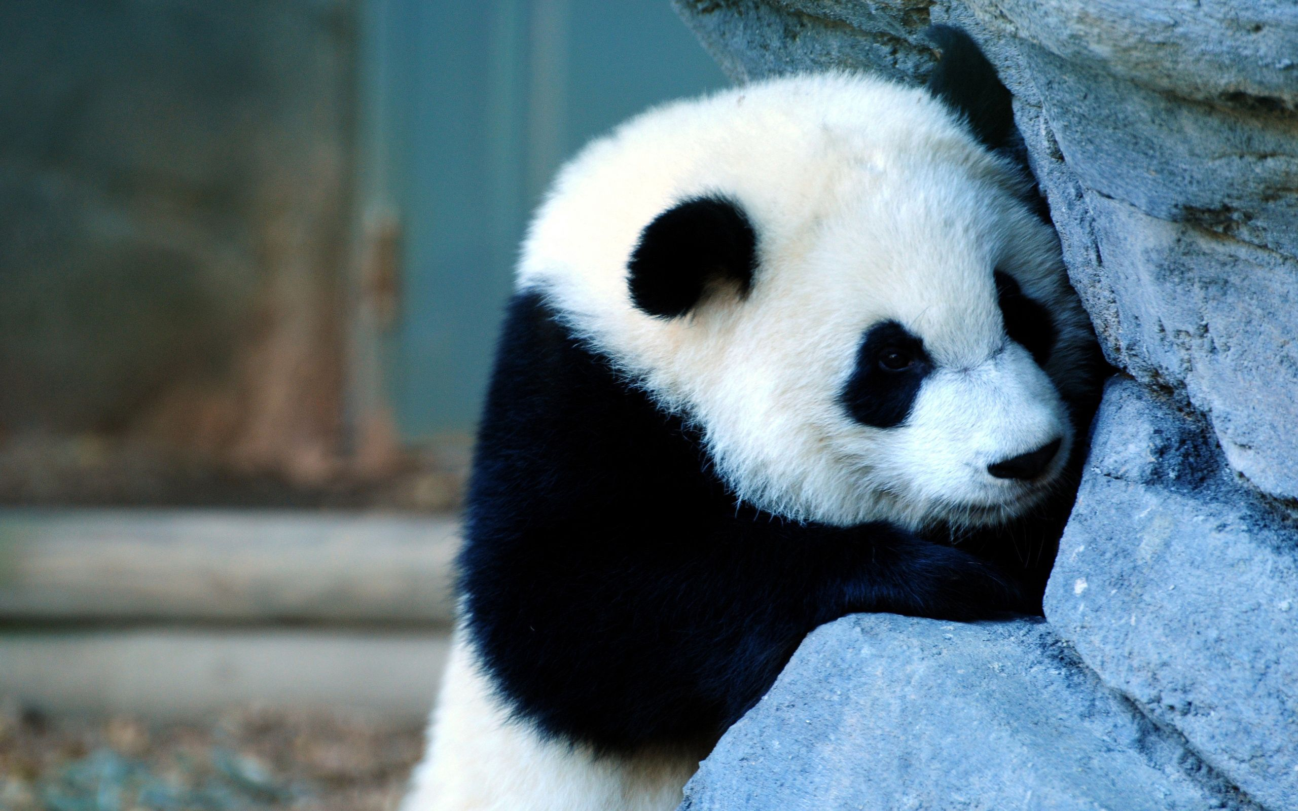 68547 download wallpaper Animals, Panda, Wall, Sadness, Sorrow, Kid, Tot screensavers and pictures for free