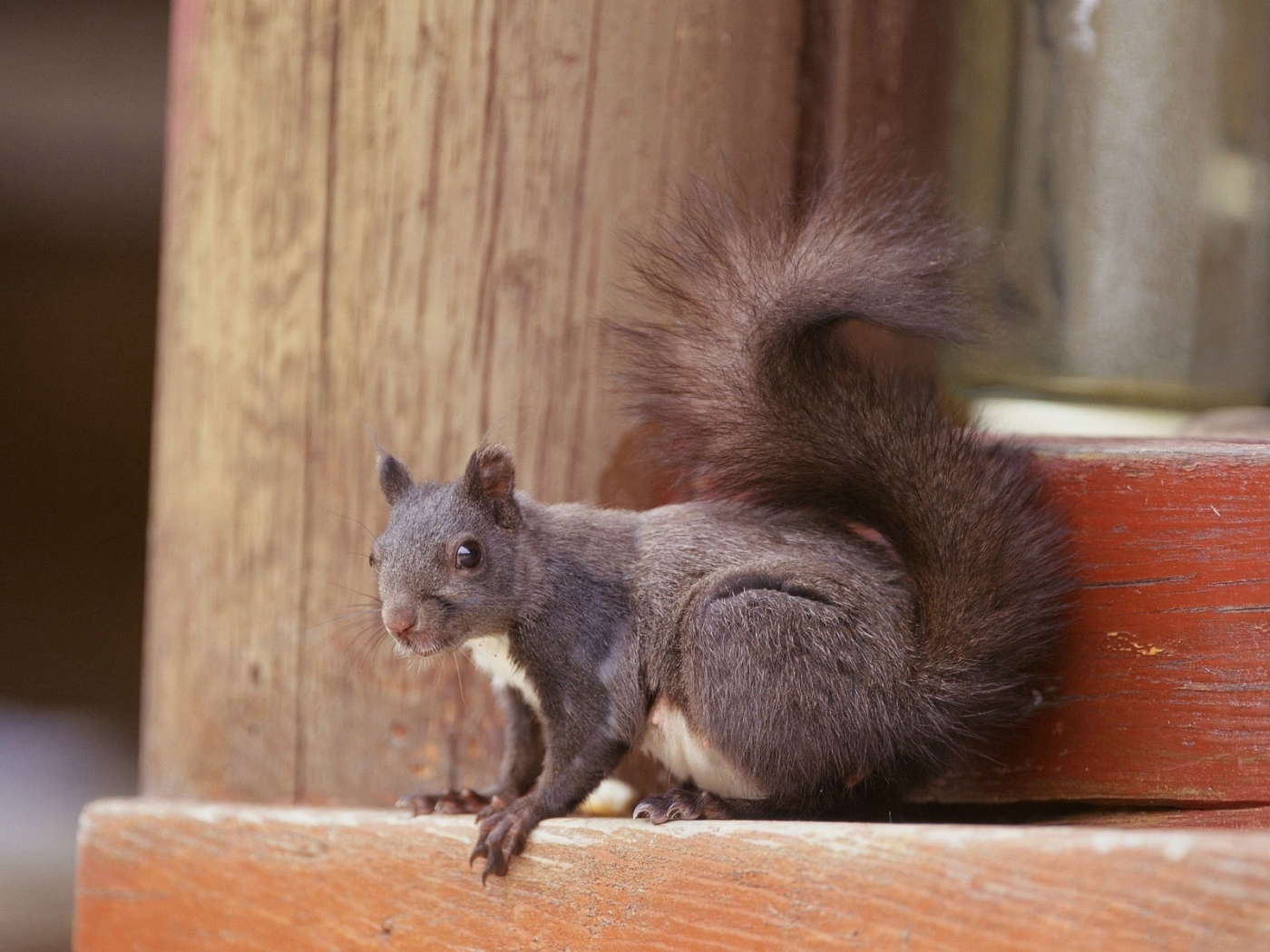 41684 download wallpaper Animals, Squirrel screensavers and pictures for free