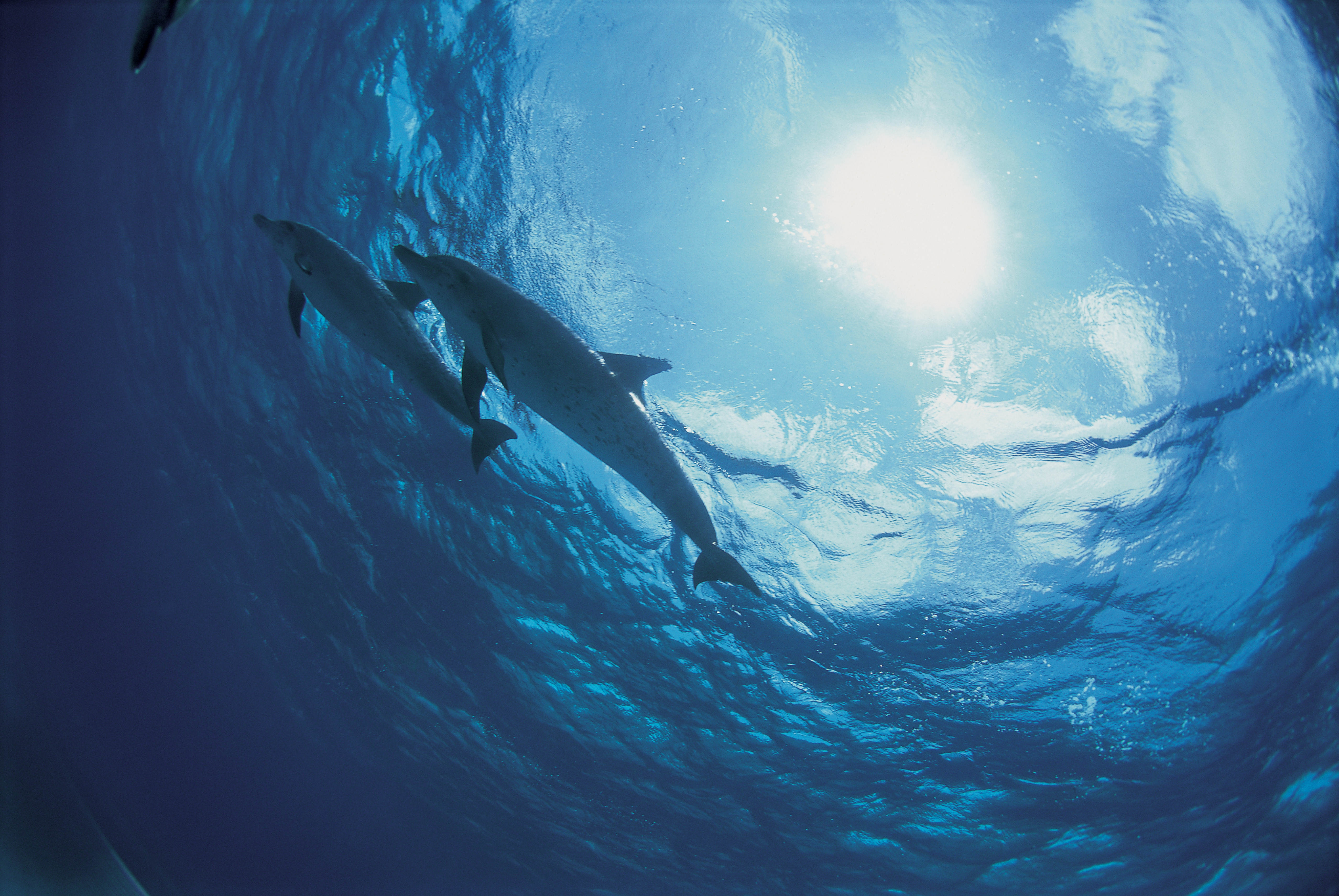 53786 download wallpaper Nature, Dolfins, Ocean, Bottom screensavers and pictures for free